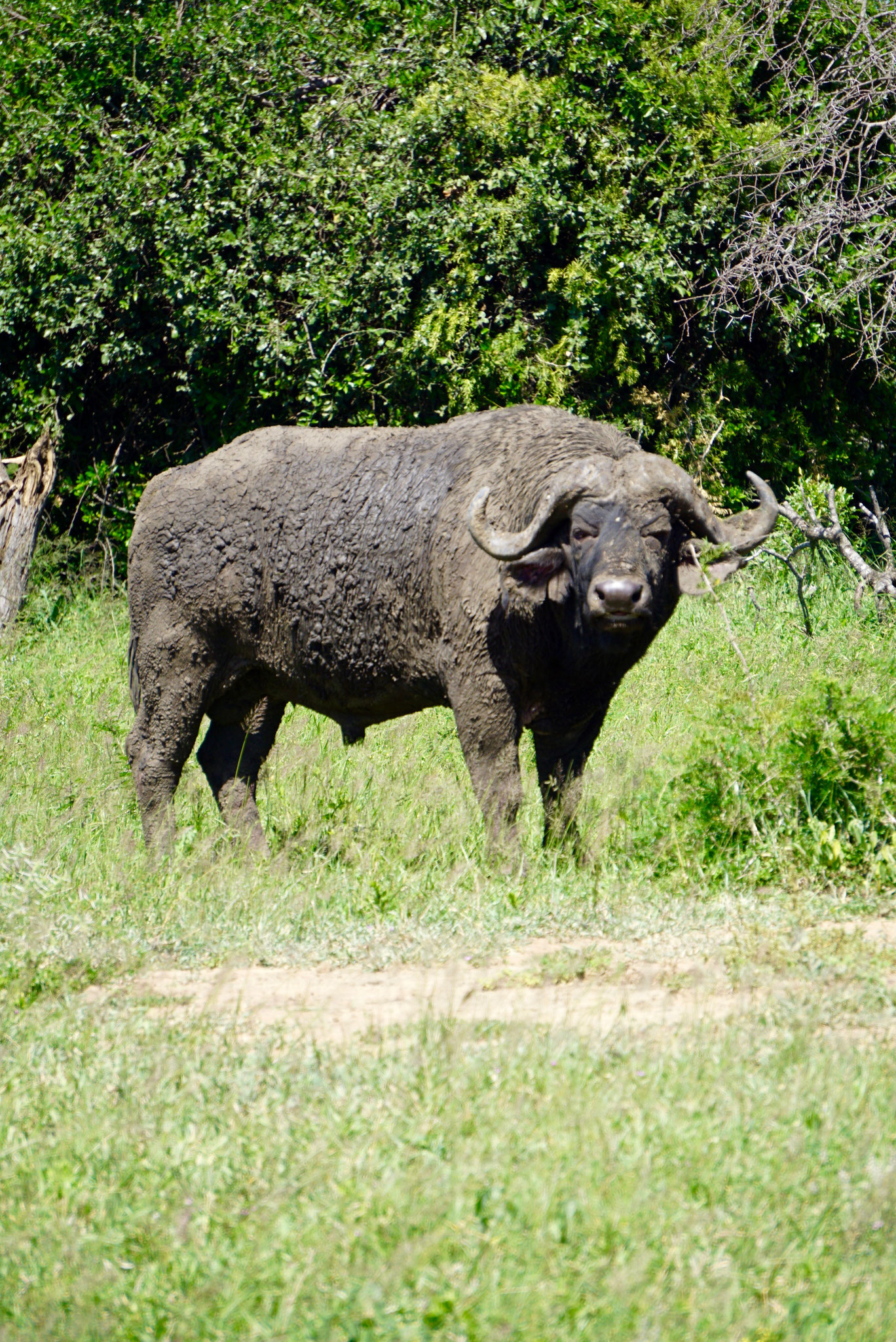 Bild: Büffel