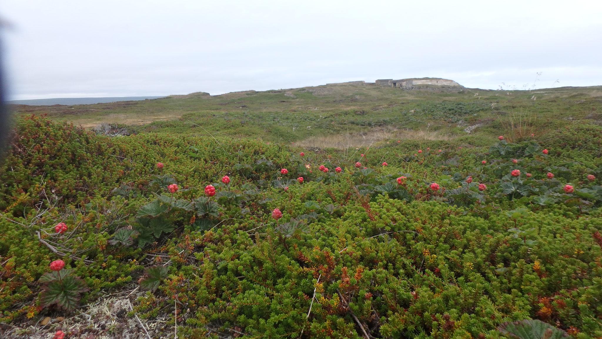 Moltebeeren auf Ekkerøy