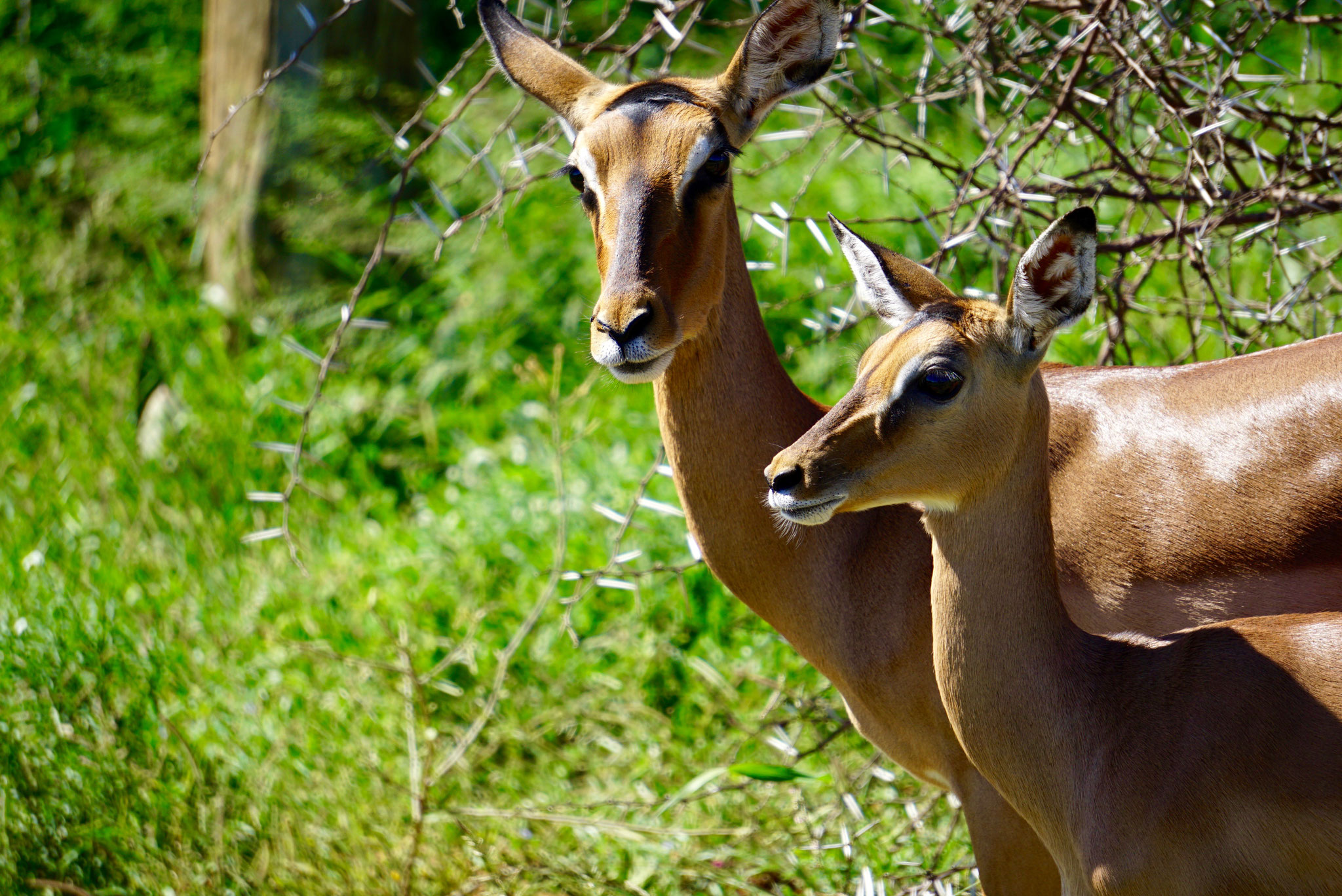 Bild: Impala