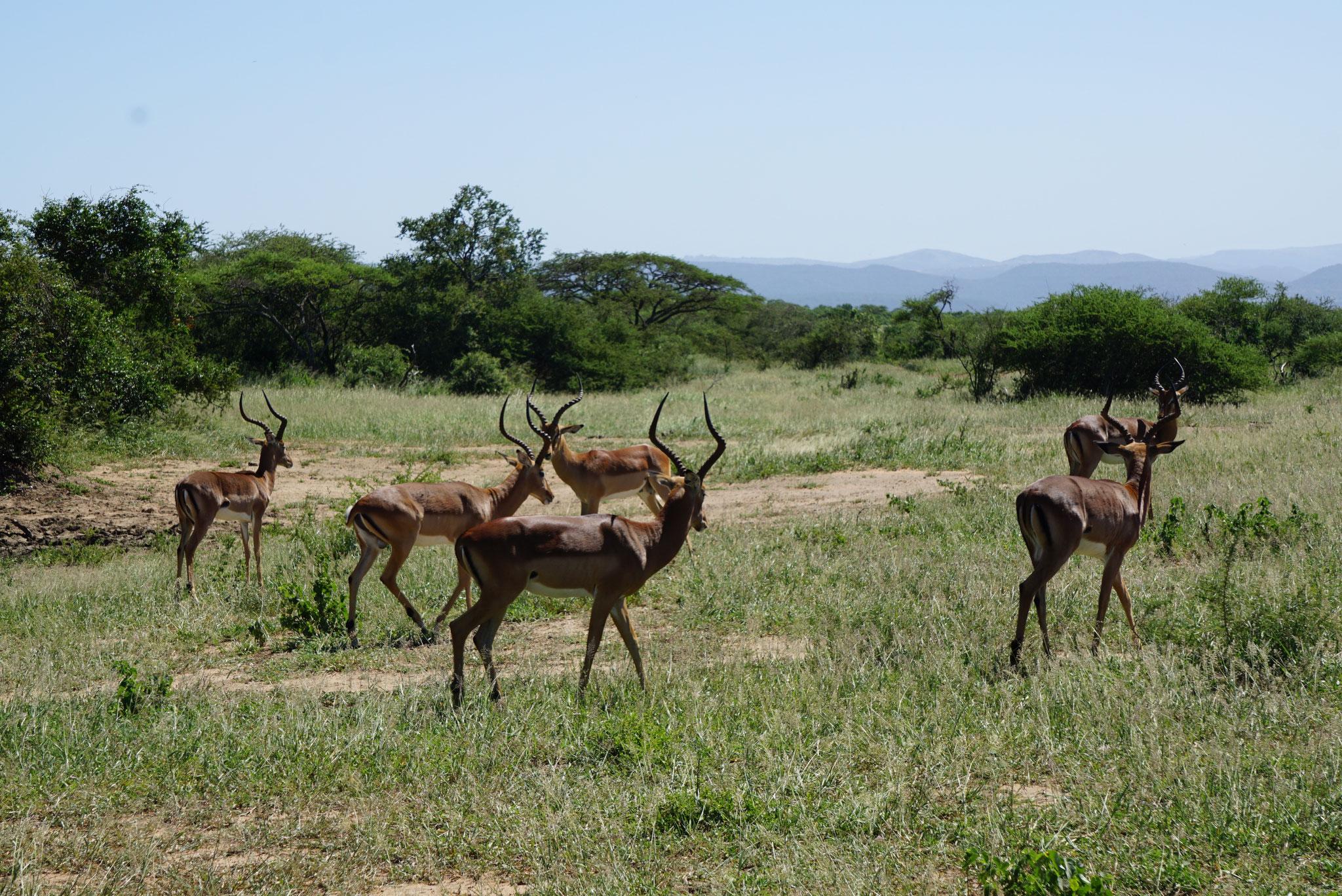 Bild: männliche Antilopen