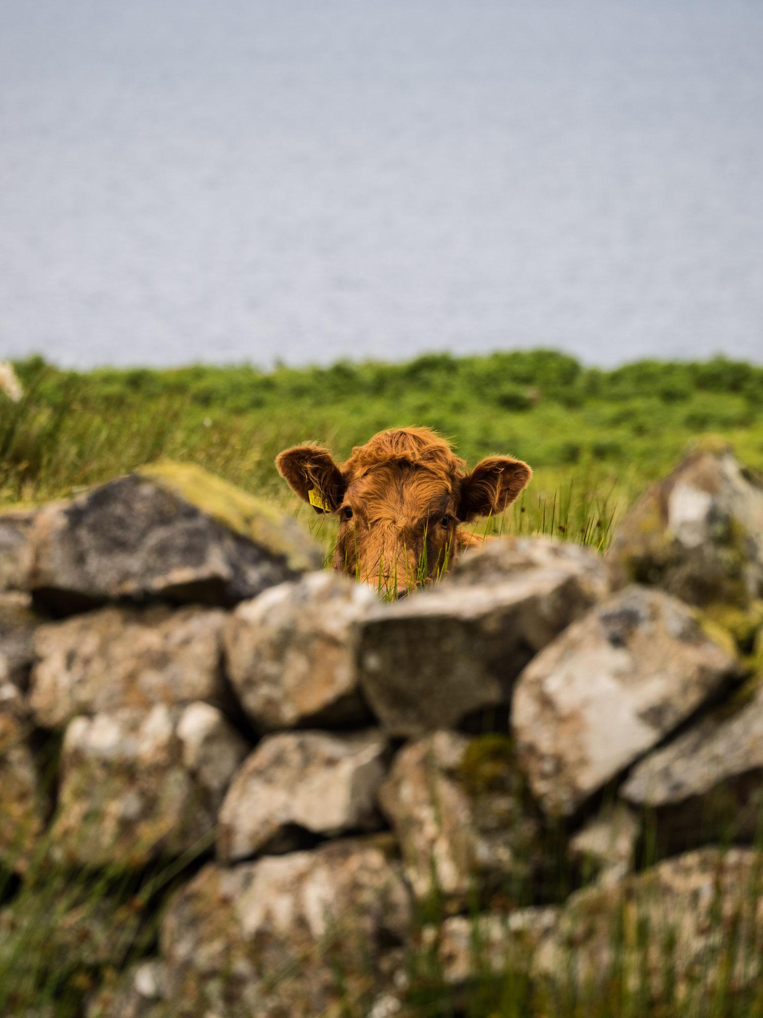 Bild: neugierige Kuh
