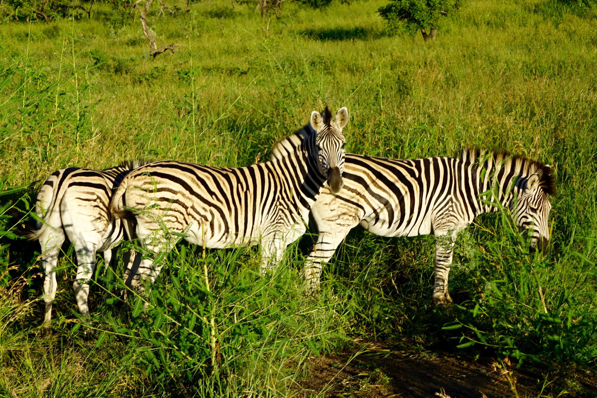 Bild: Zebras