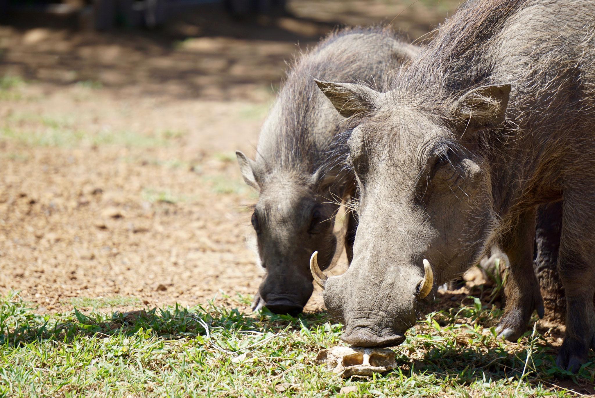 Bild: Walzenschweine