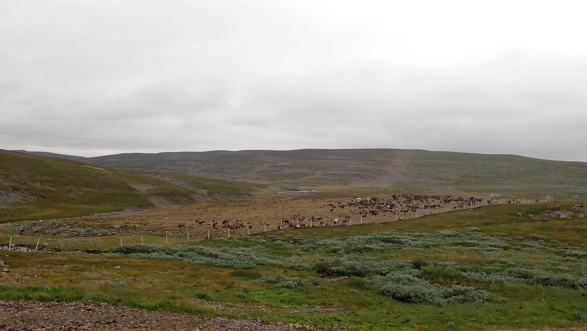 Rentier Herde