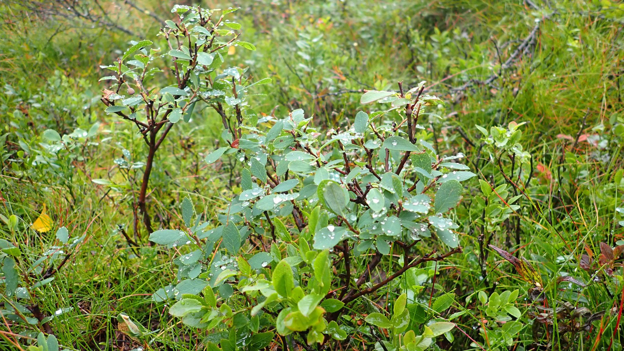 Rauschbeerpflanze