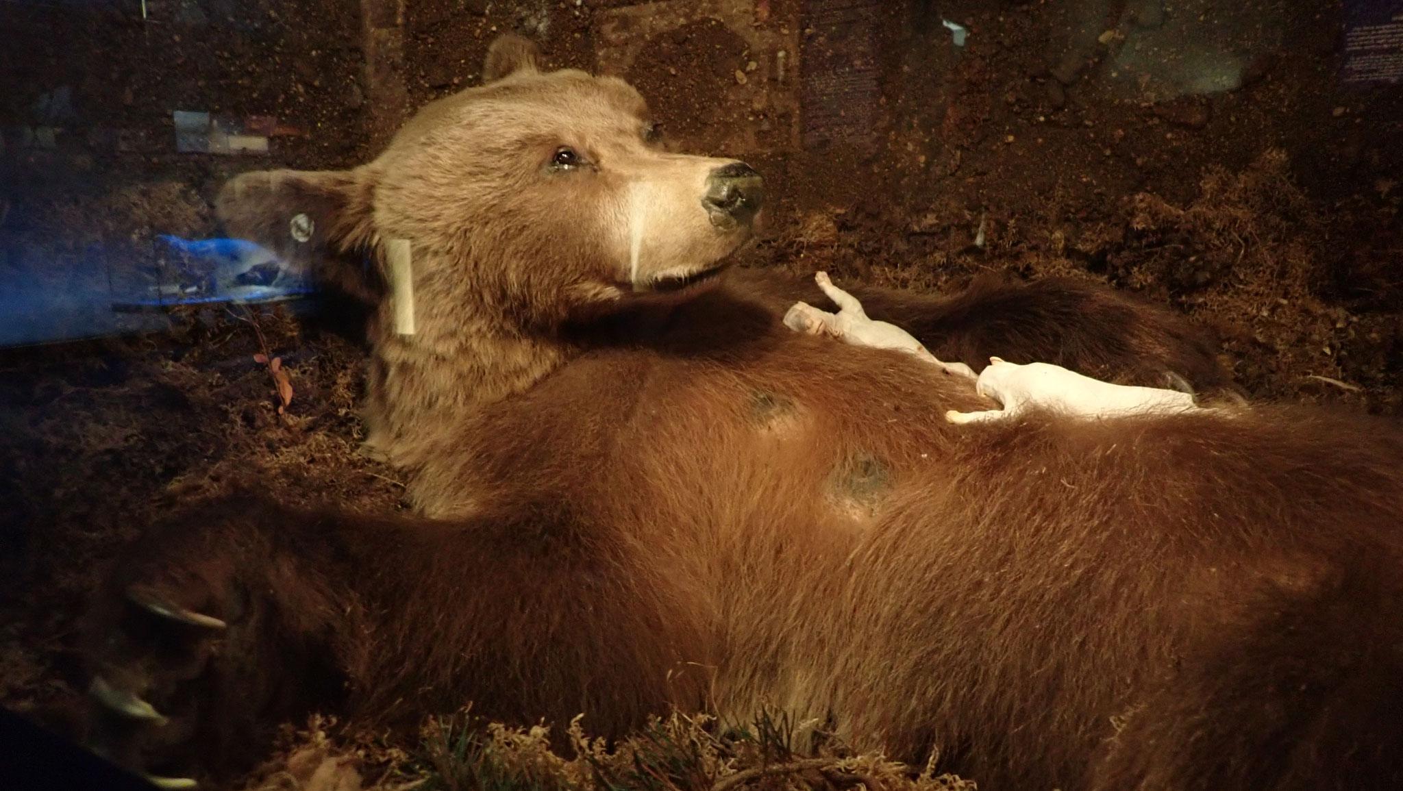 Braunbär mit Jungen in Höhle im Januar