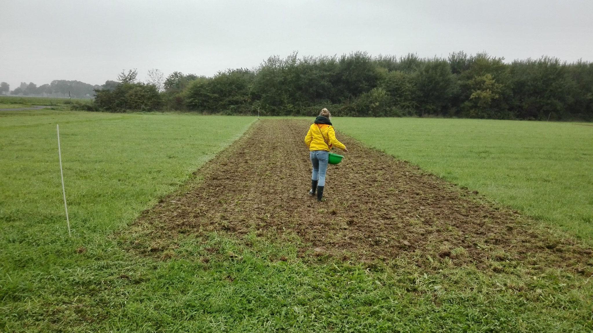 Nach der Bodenbearbeitung erfolgt eine Einsaat von Hand (Bild: K. Weddeling)