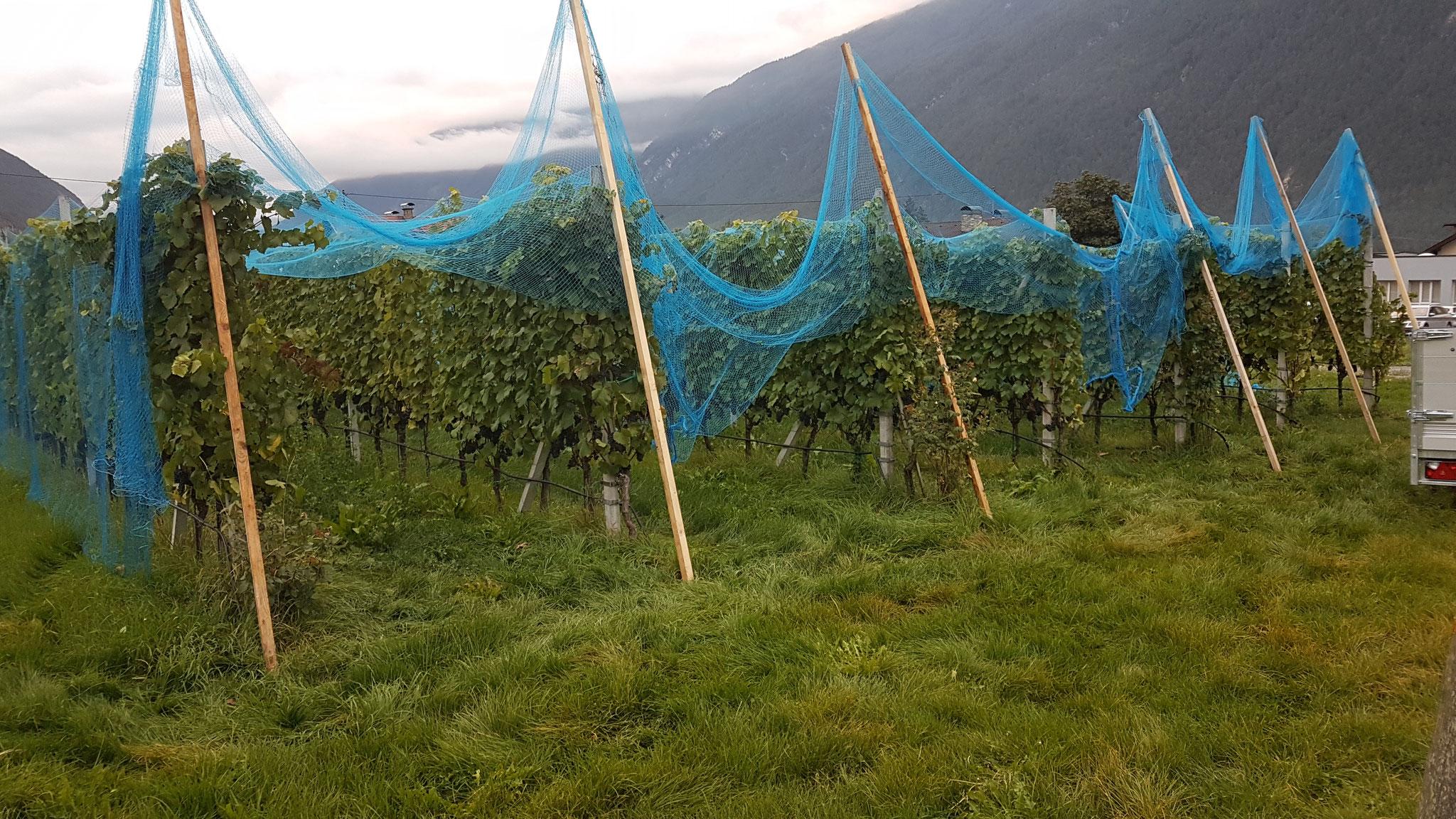 Erntezeit - der Vorhang (Vogelschutznetze) geht früh morgens auf