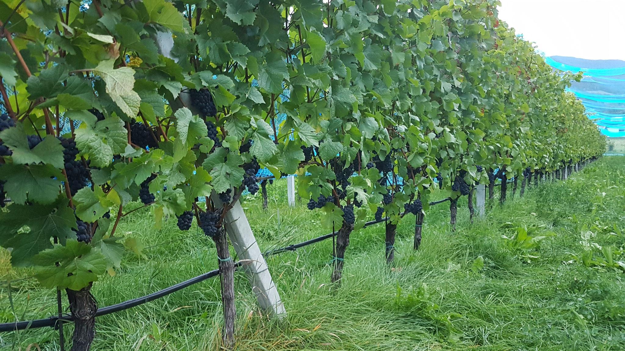 Pinot Noir Trauben 2018 - gesund und reif