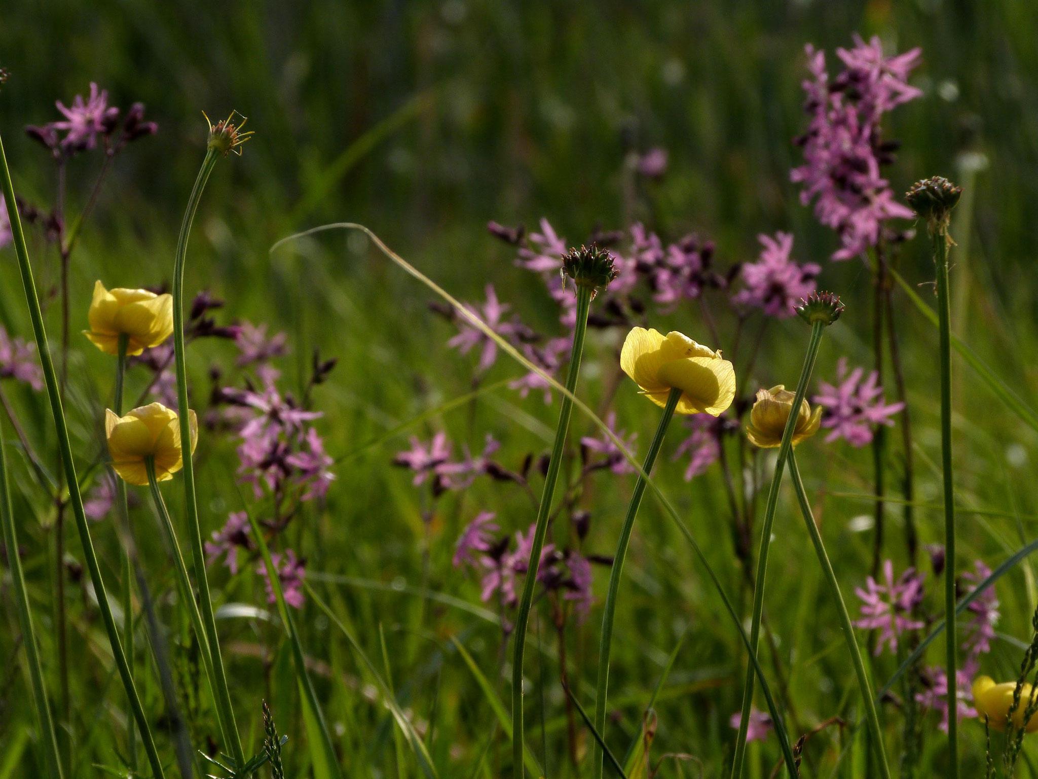 Der Anblick von Kuckuckslichtnelke, Trollblume und... Foto: W. Flade