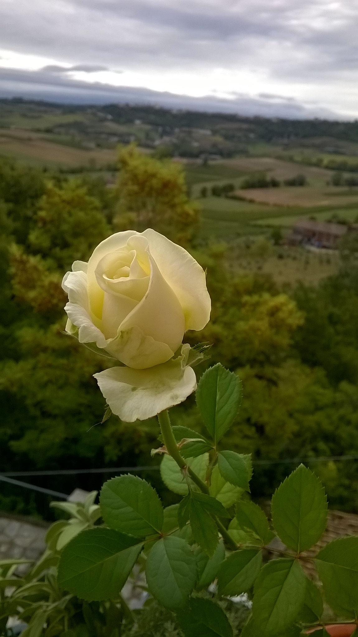 Quanto Dura Una Rosa Fiorita? La Mia Curata Con #AcquaBase 10/09/2017