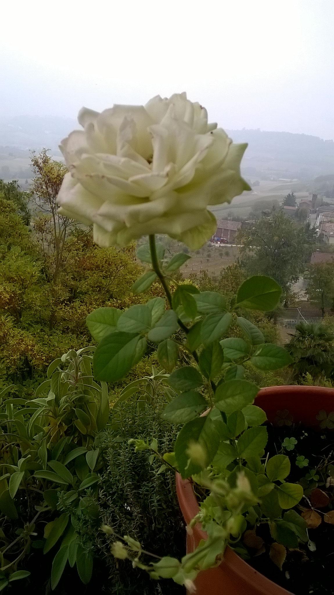 Quanto Dura Una Rosa Fiorita? La Mia Curata Con #AcquaBase