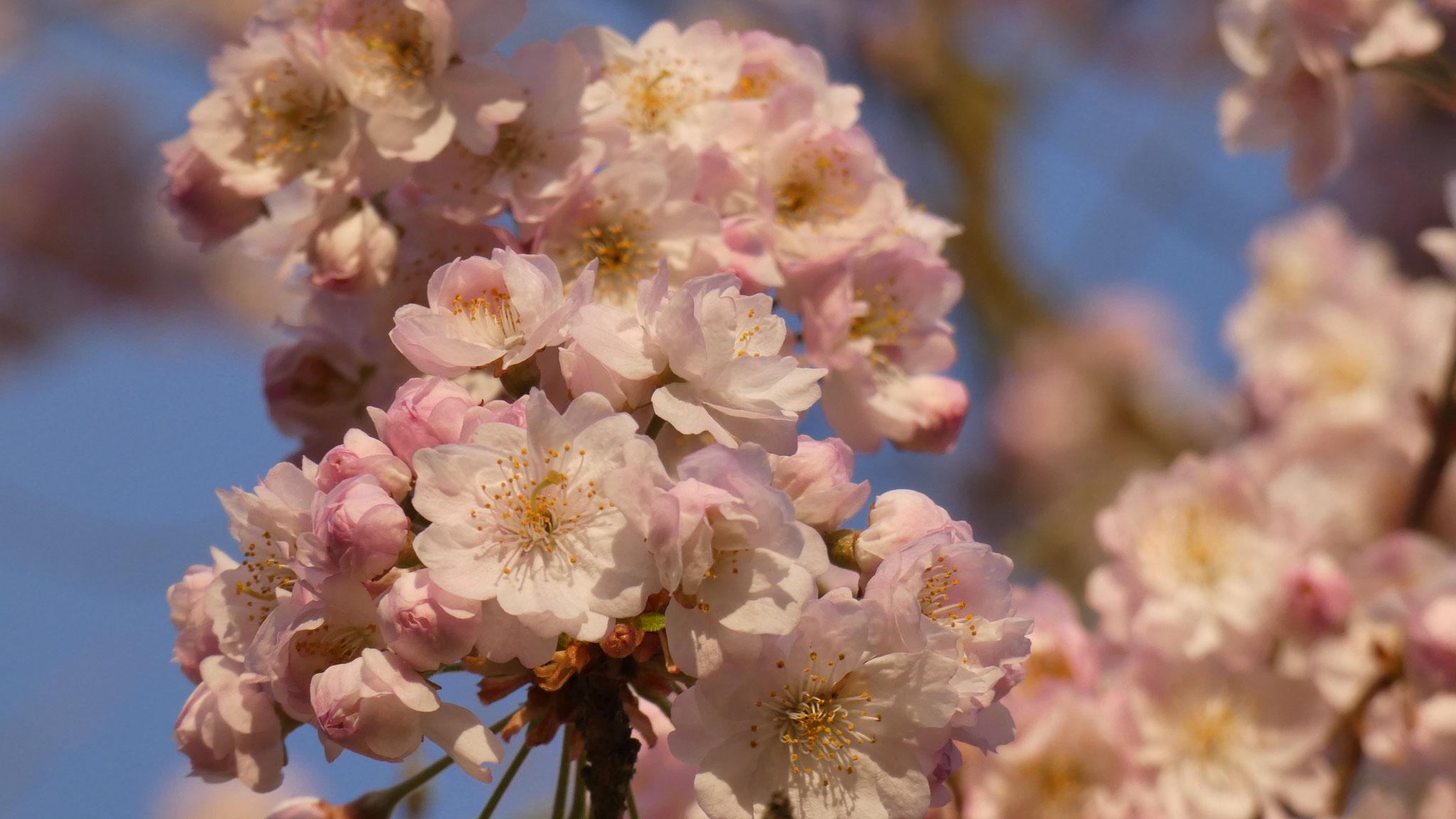 Kirschblüte Magdeburg