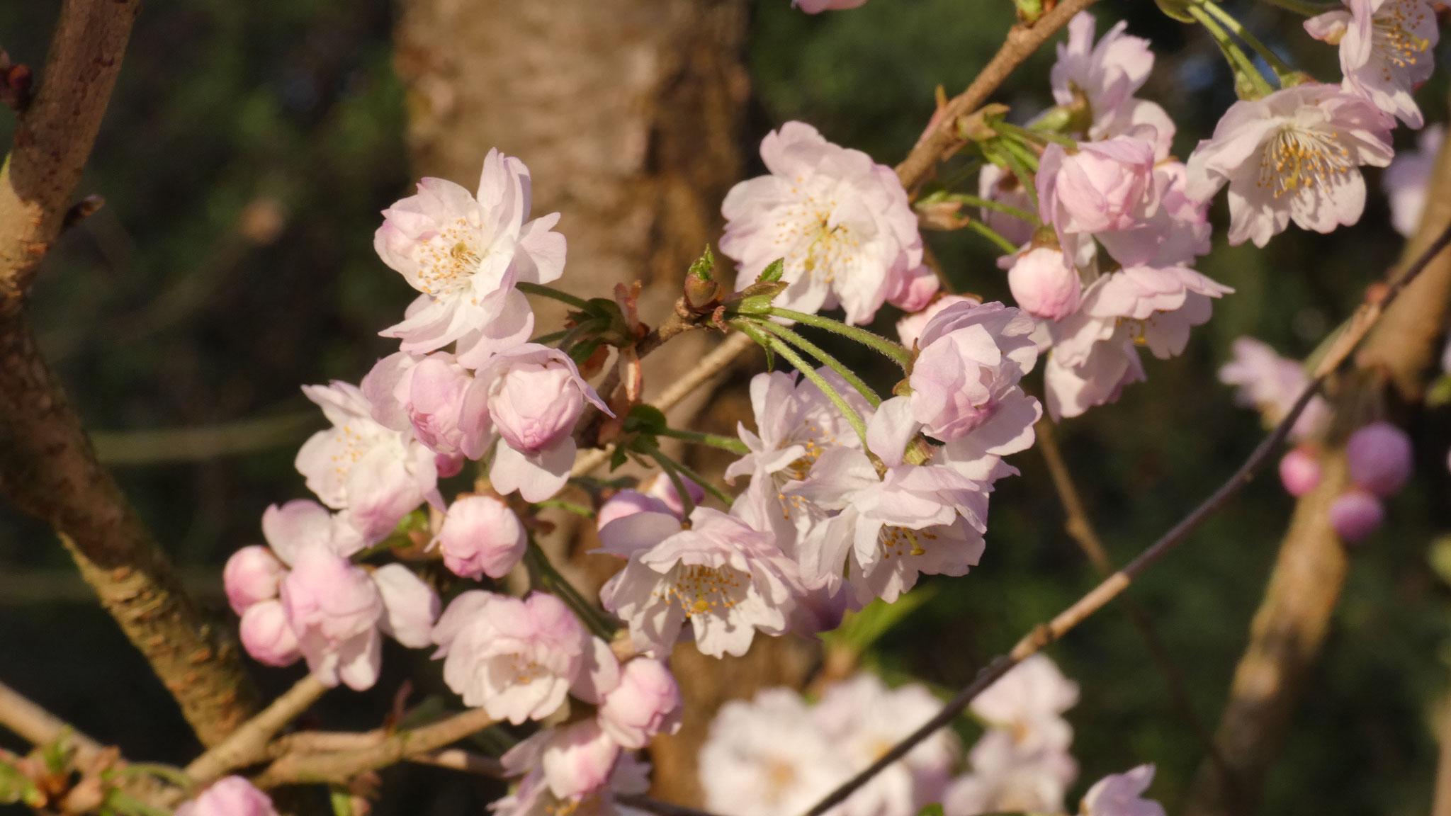 Wild Kirschblüten