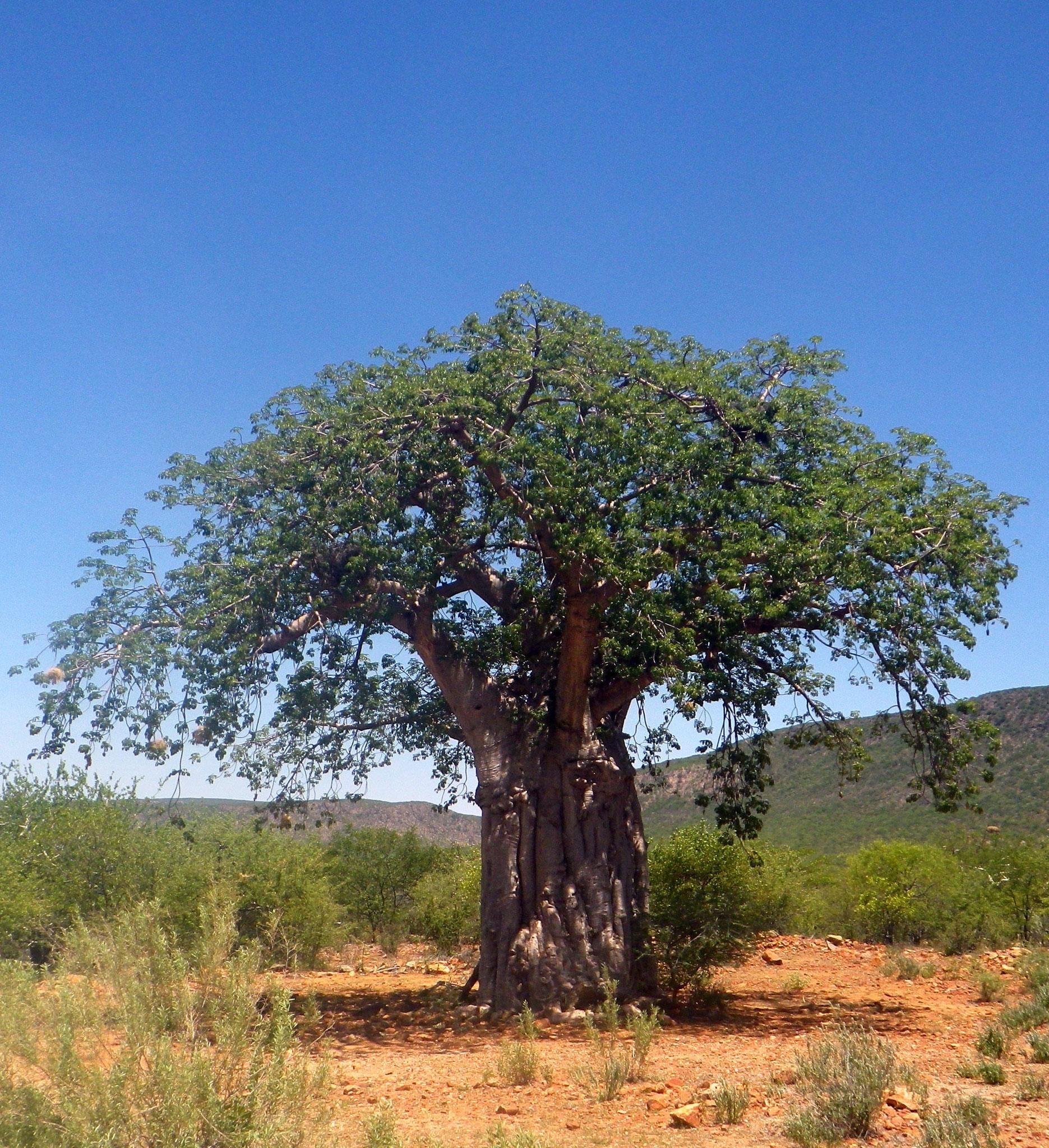 Namibia: roter Sand, grüne Blätter, blauer Himmel