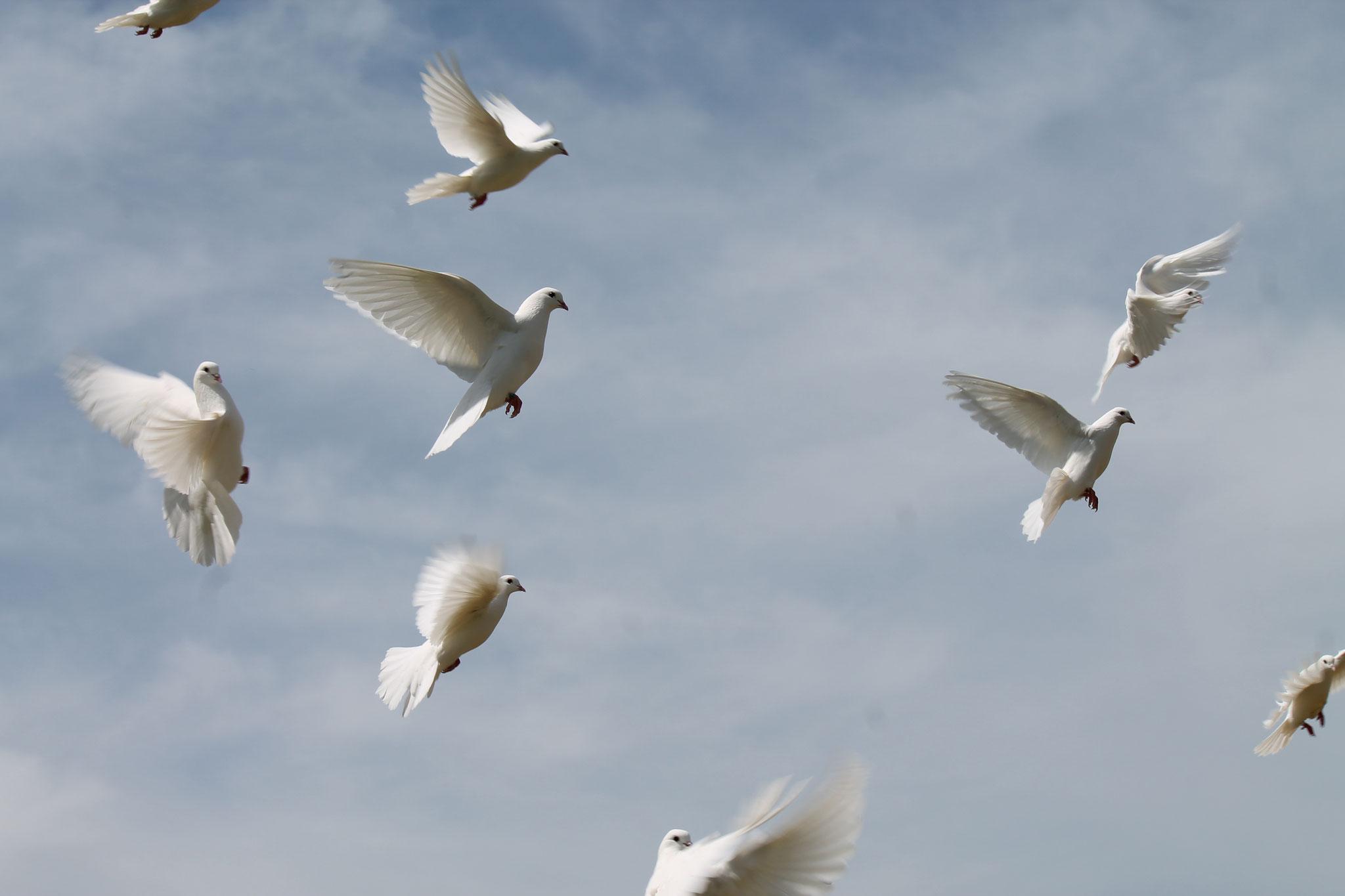 die weißen Hochzeitstauben fliegen