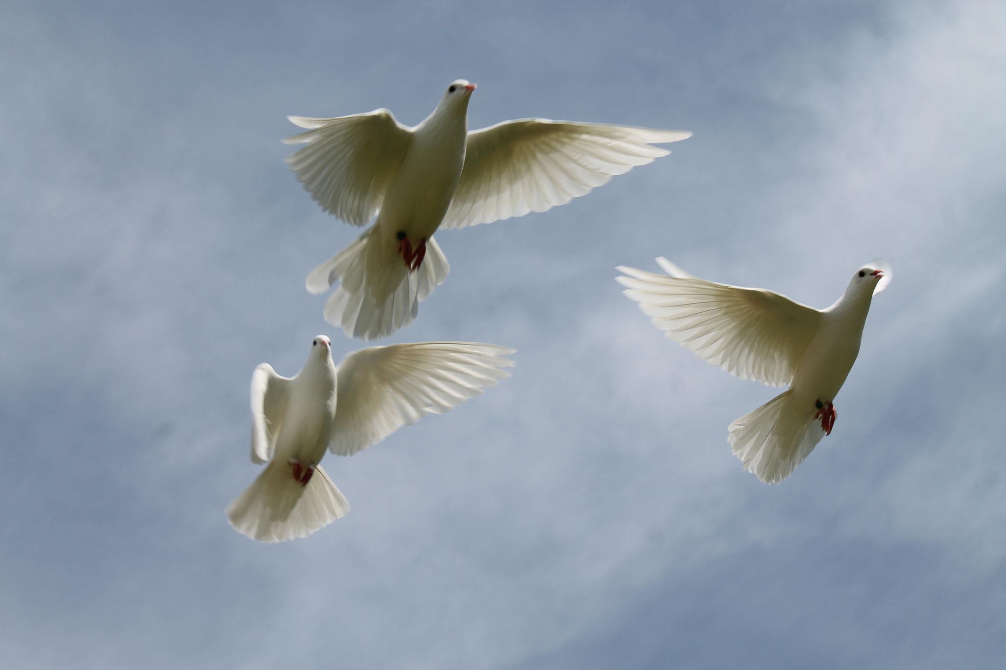 die weißen Tauben sind wieder im Anflug