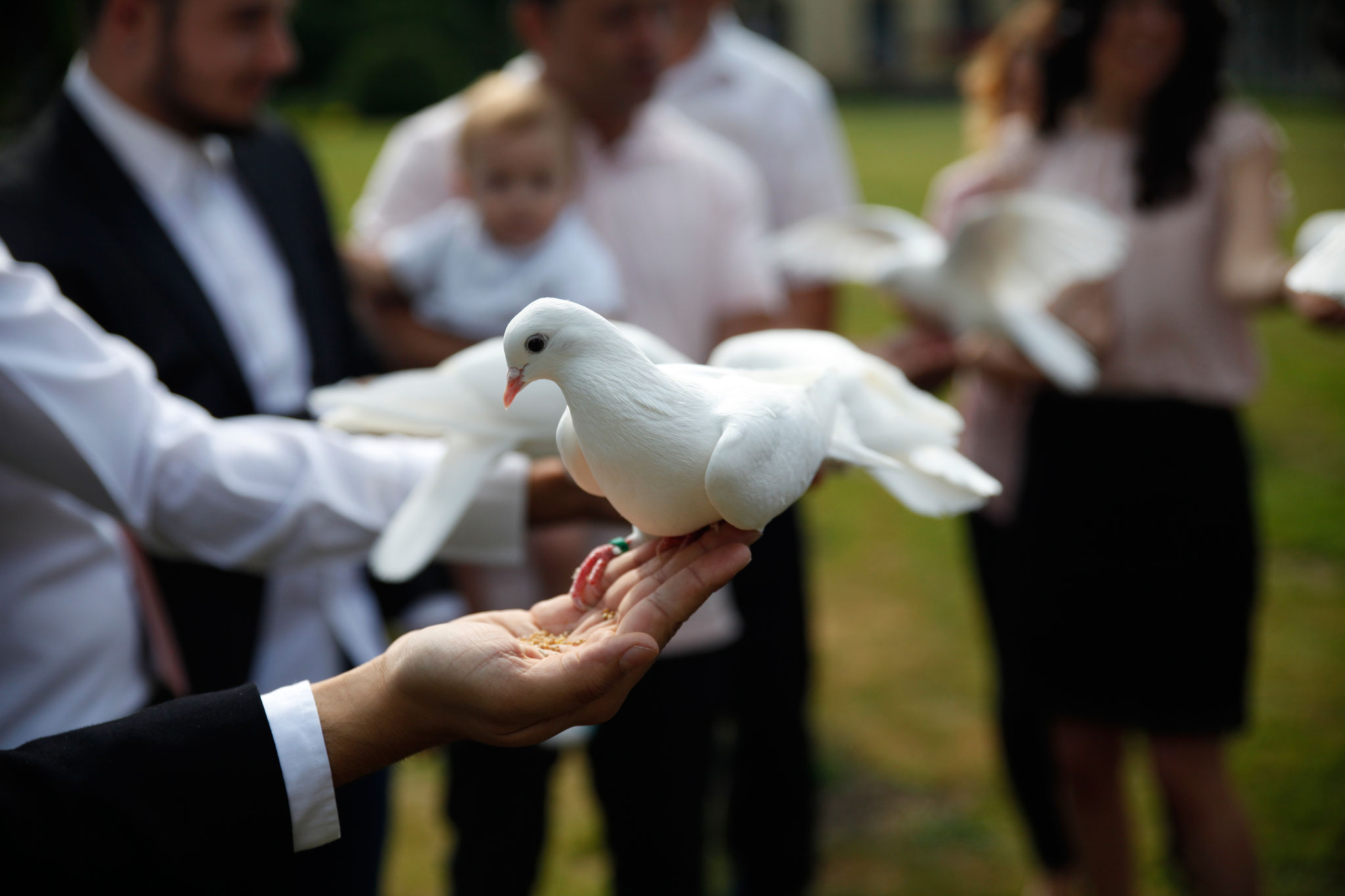 die weißen Tauben kommen zutraulich auf die Hand geflogen