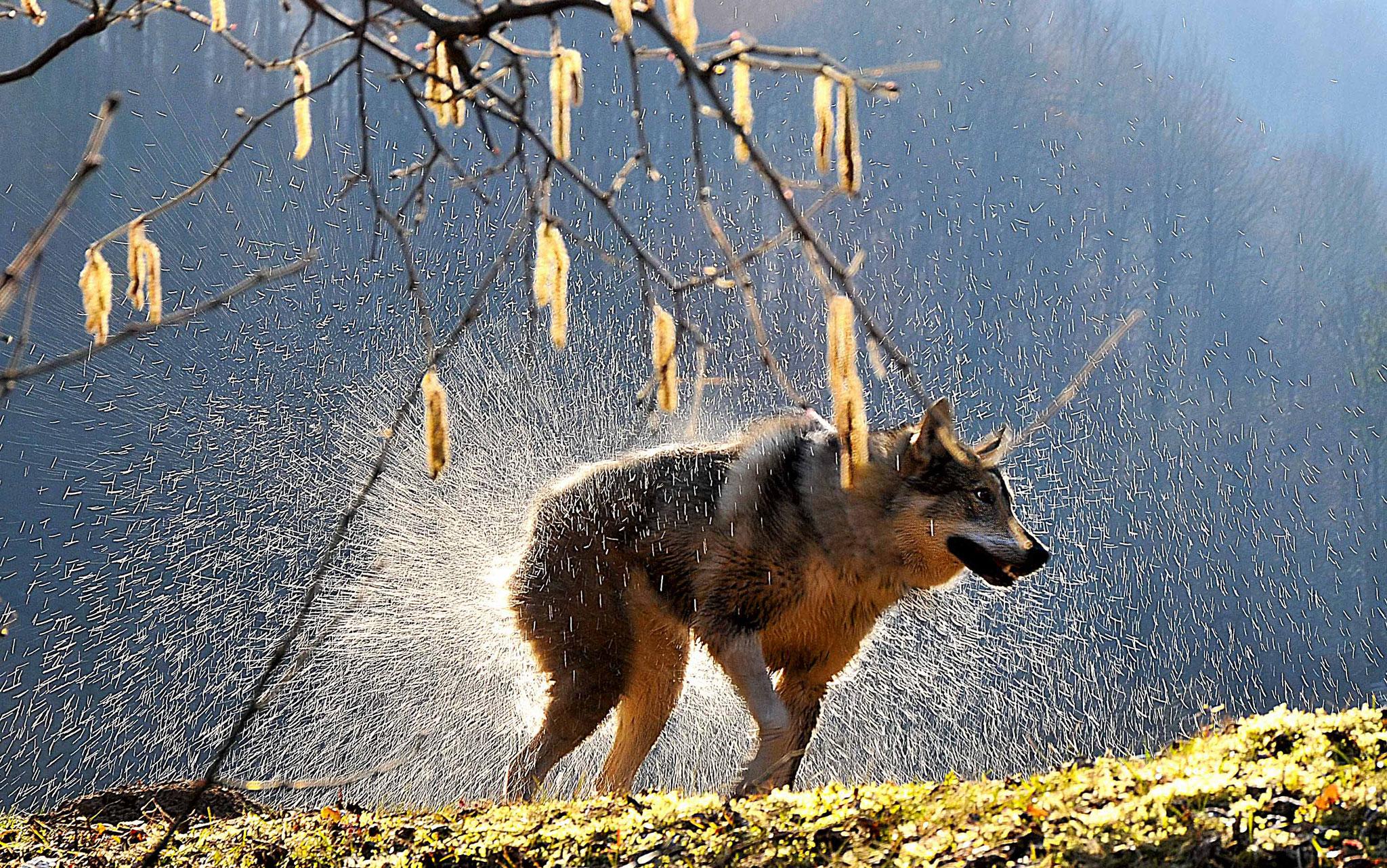 Vayl Fitskolynets (Ukraine) - Wolf in the forest