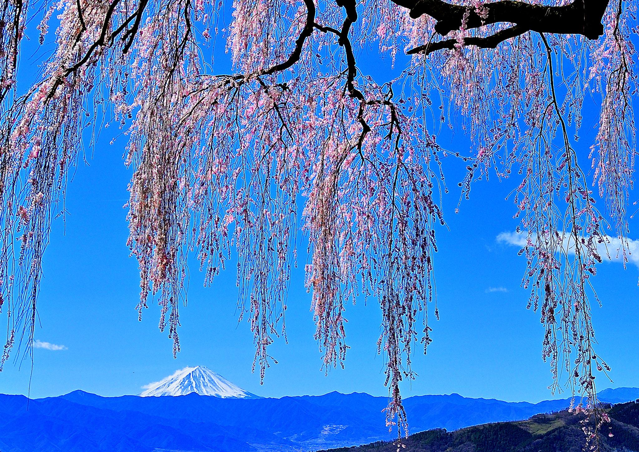 Kato  Masami (Japan) - Okkazuma s weeping cherry