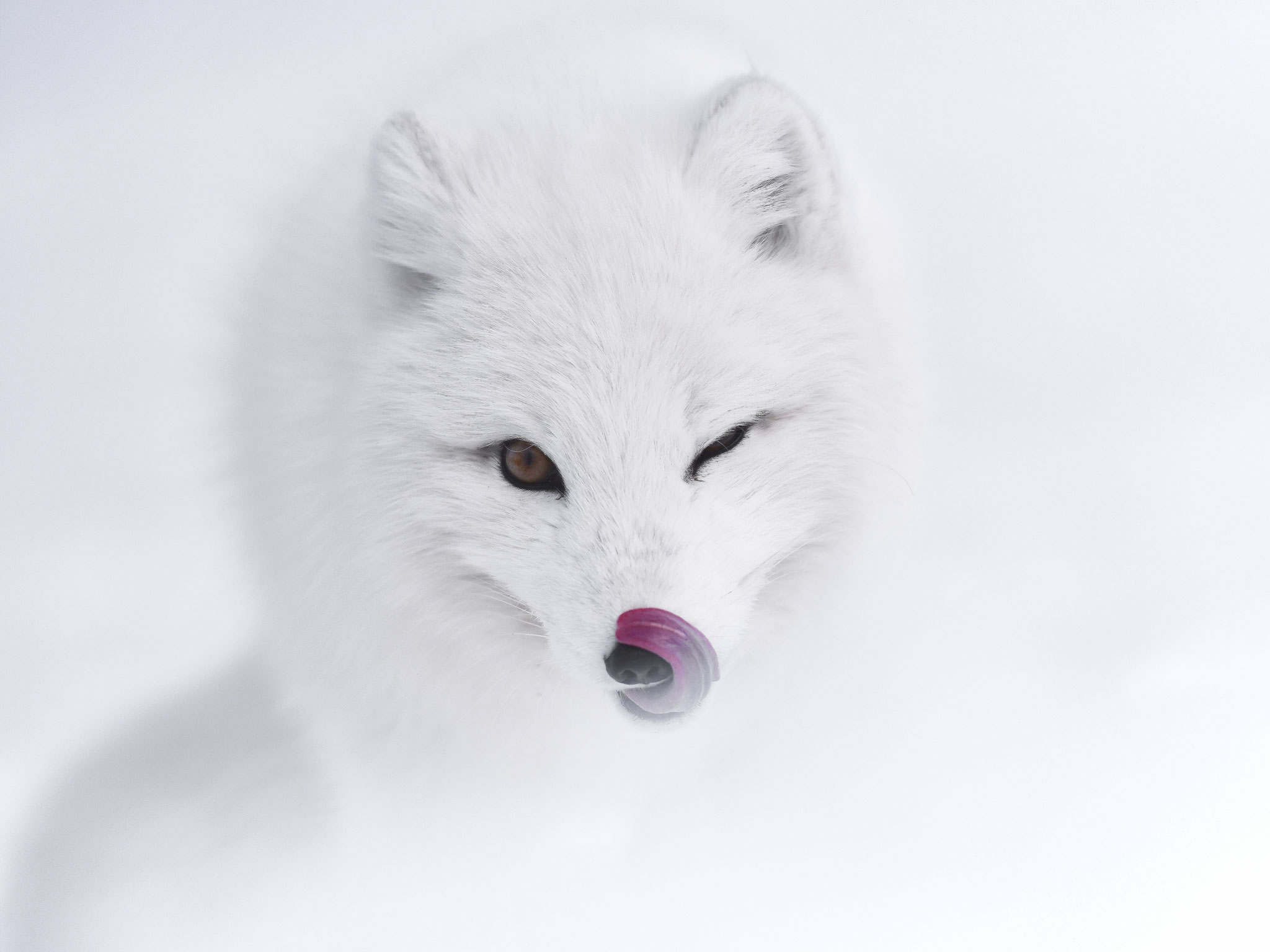 Tibor Kercz (Hungary) - Arctic fox