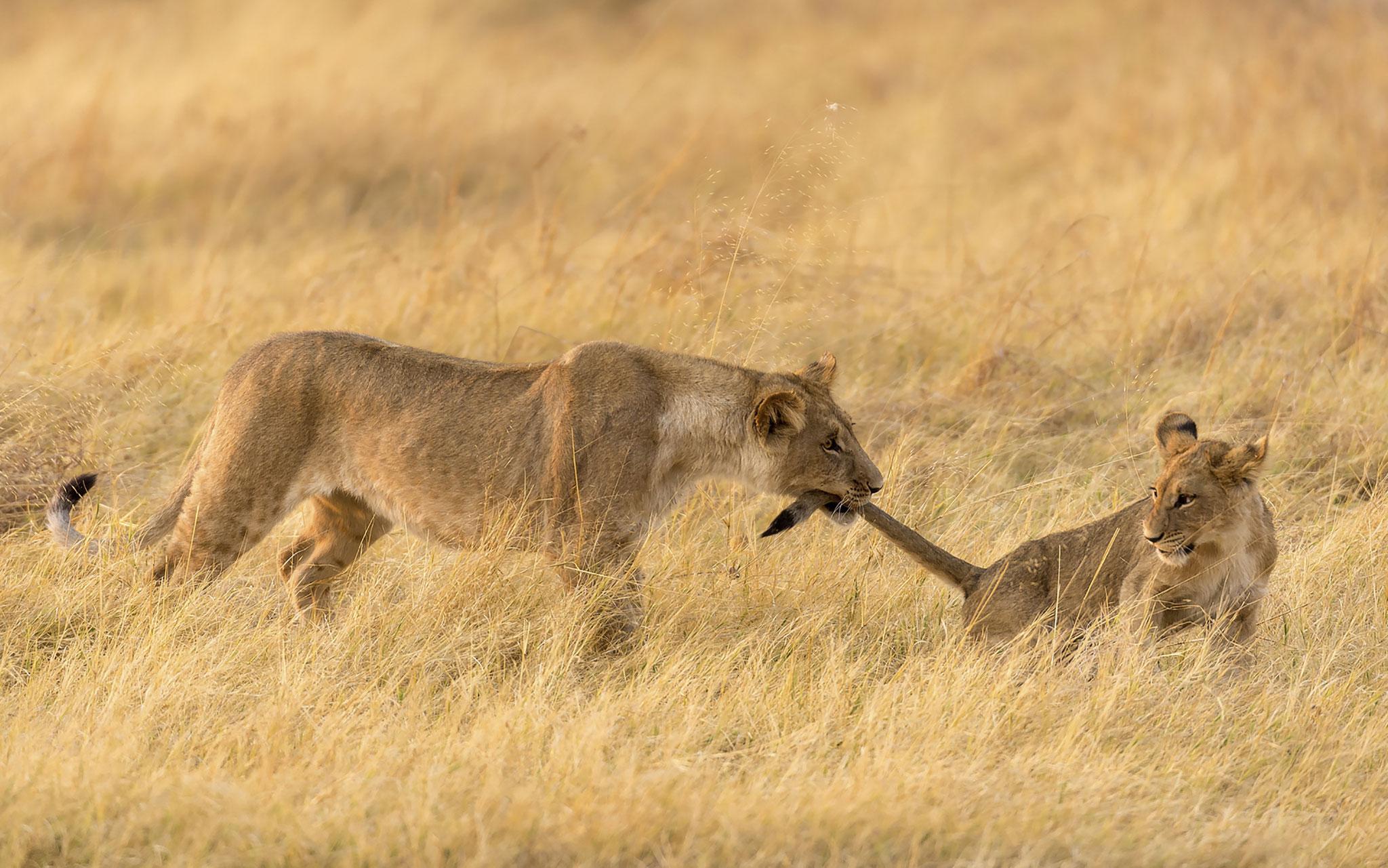 Marco Poggioni (Italy) - Lion and Lioness