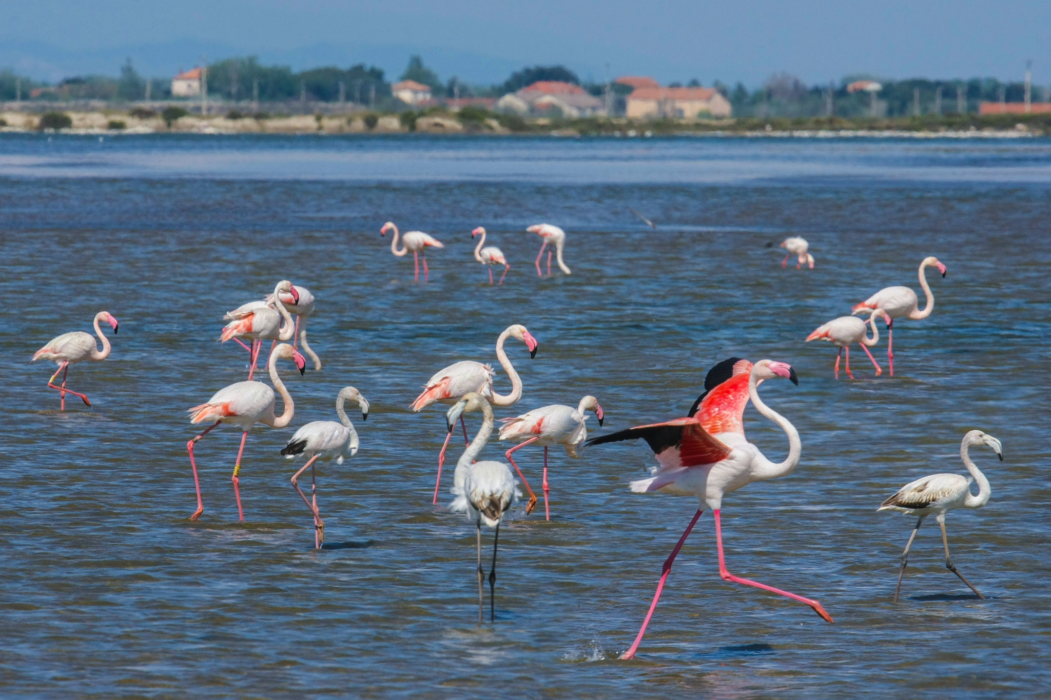 Flamants roses dans le salin de Giraud