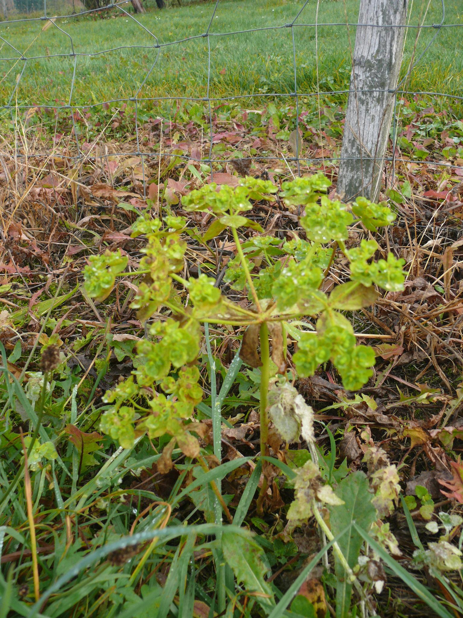 Gartenwolfsmilch -Euphorbia peplus