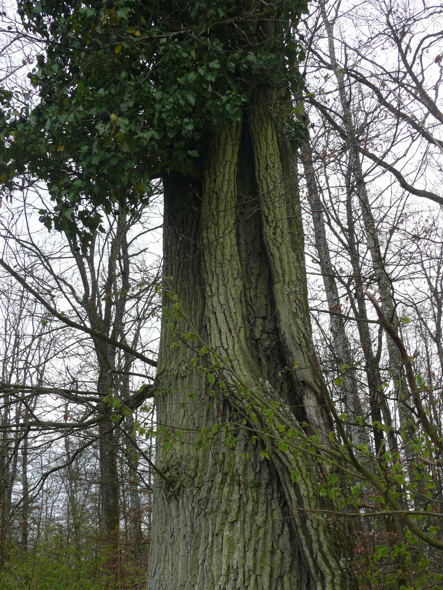 alter Efeubaumstamm an einem Baumstamm