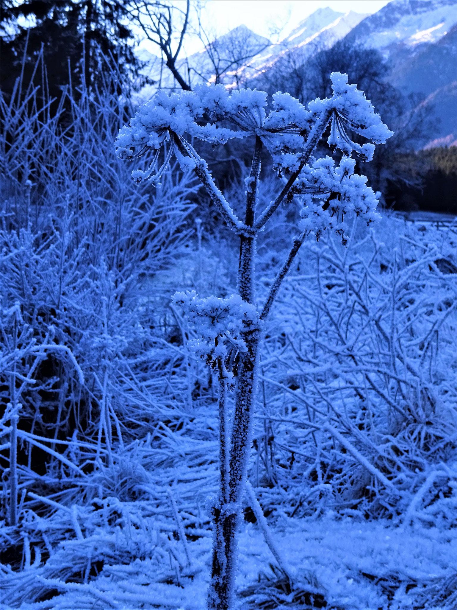 Engelwurz im Winter