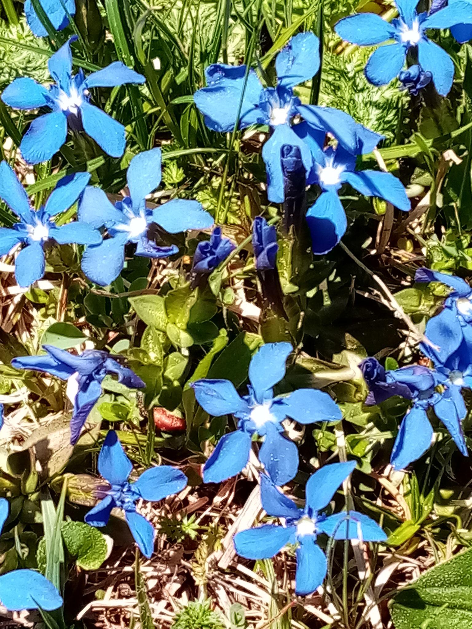 Frühlings-Enzian, teilweise geschützt