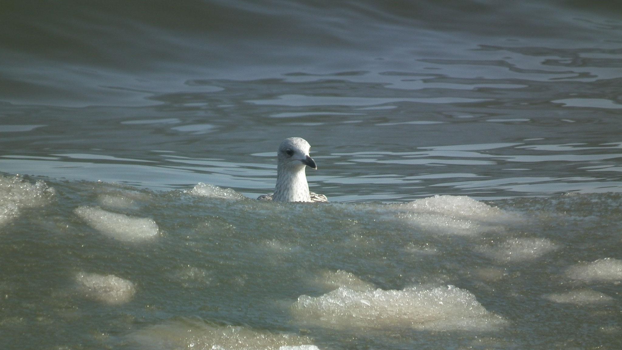 Möwen zwischen Eis am Strand