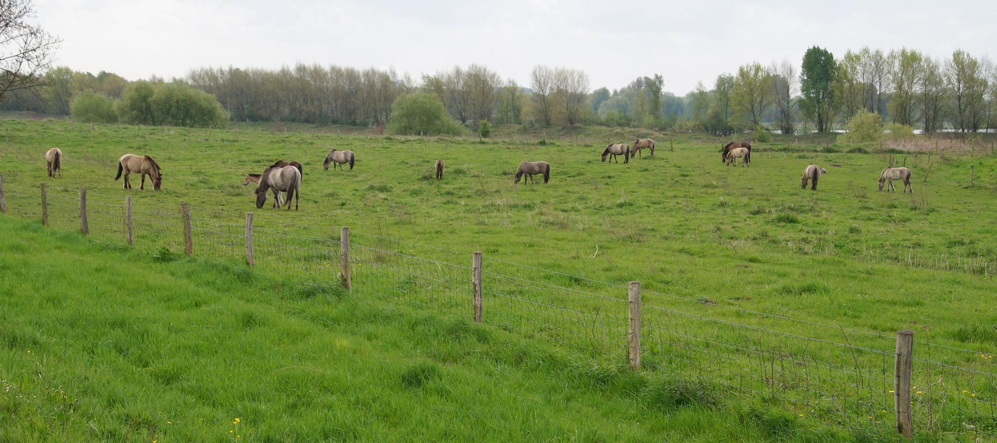 Wildpferde betreiben Landschaftspflege