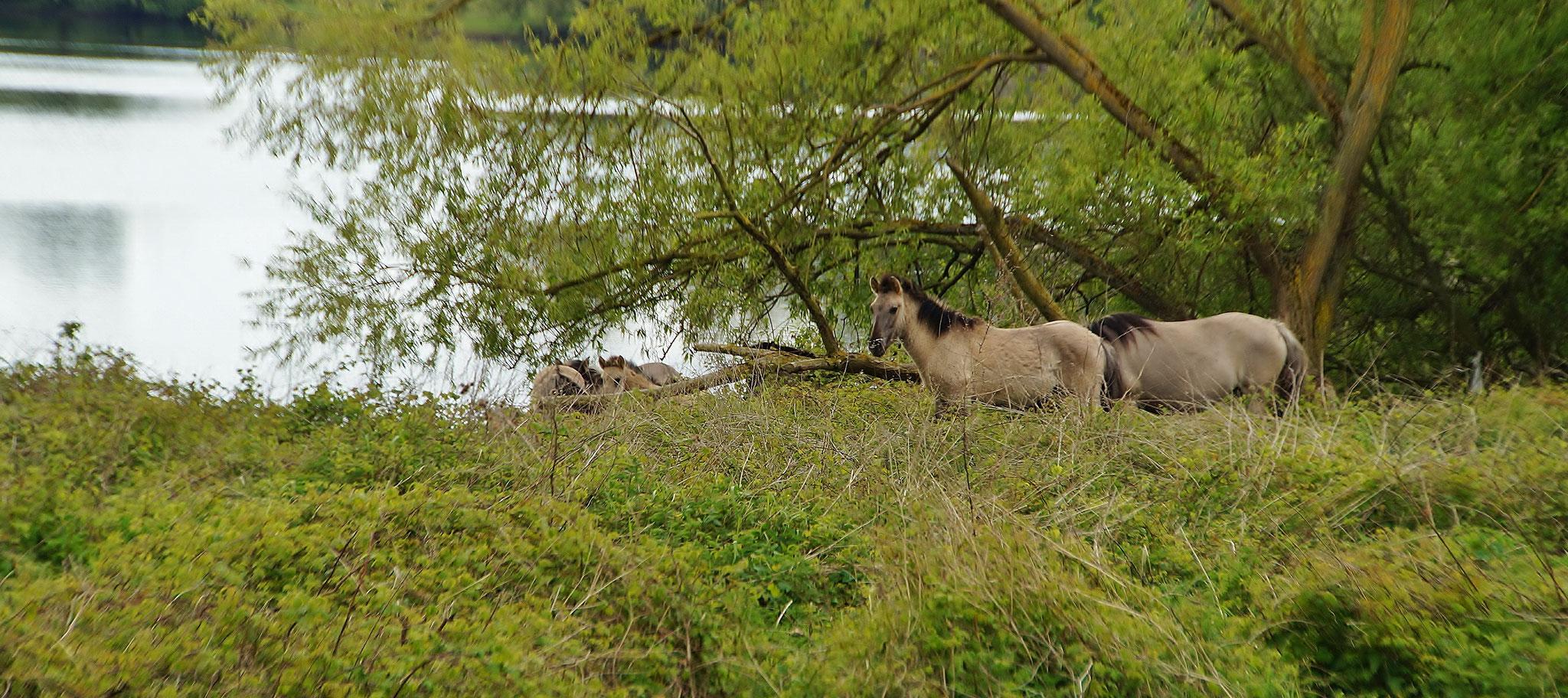 ...Pferde sorgen für die Landschaftspflege
