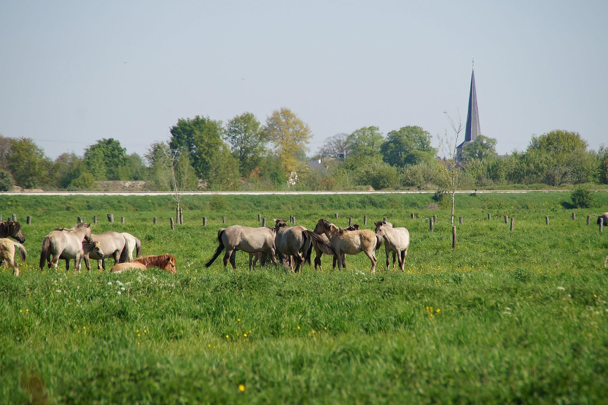 Wildpferde im Naturpark Maas-Schwalm-Nette kurz vor der Grenze nach Maaseik