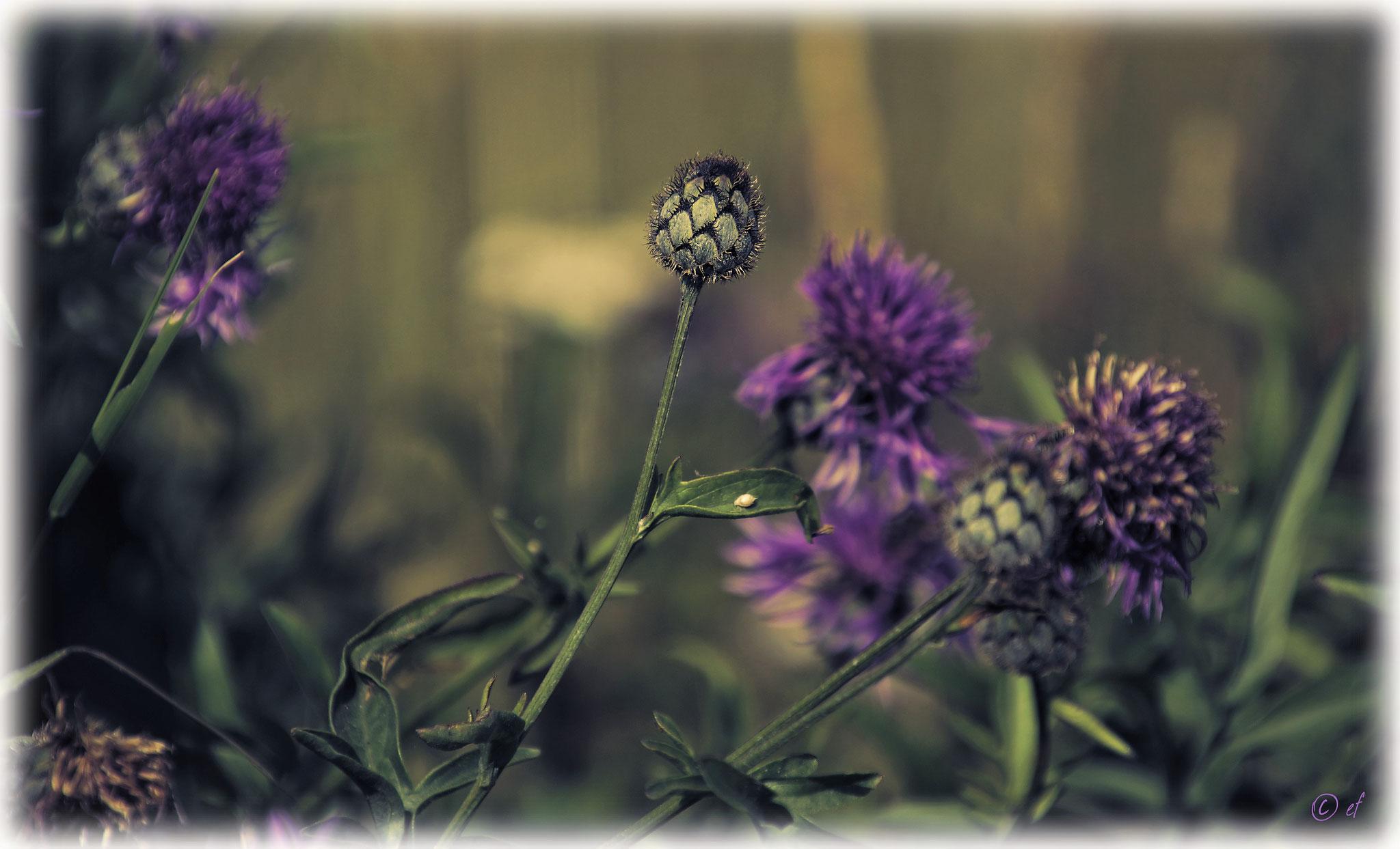 Die geschlossene Blüte der Flockenblume
