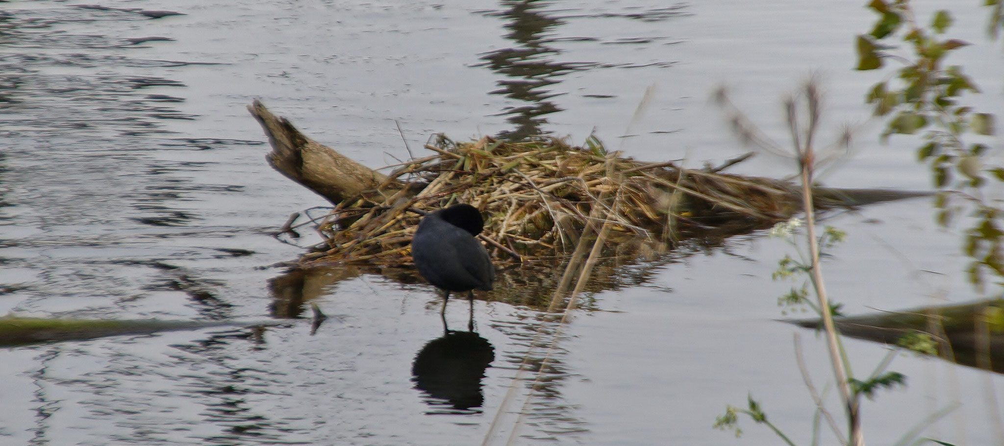 Ein Blässhuhn vor seinem Nest