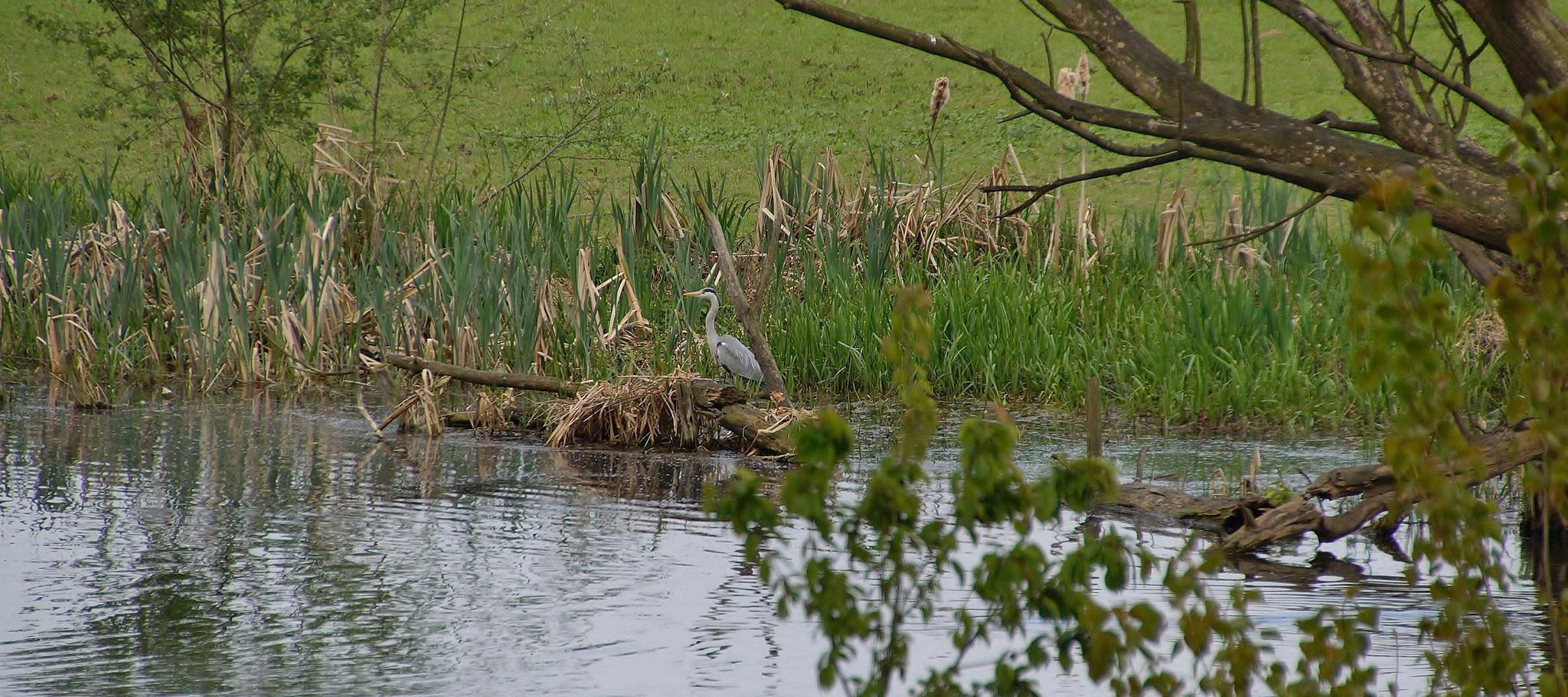 Ein alter Maasarm, Lebensraum für viele Vögel bzw. Wasservögel