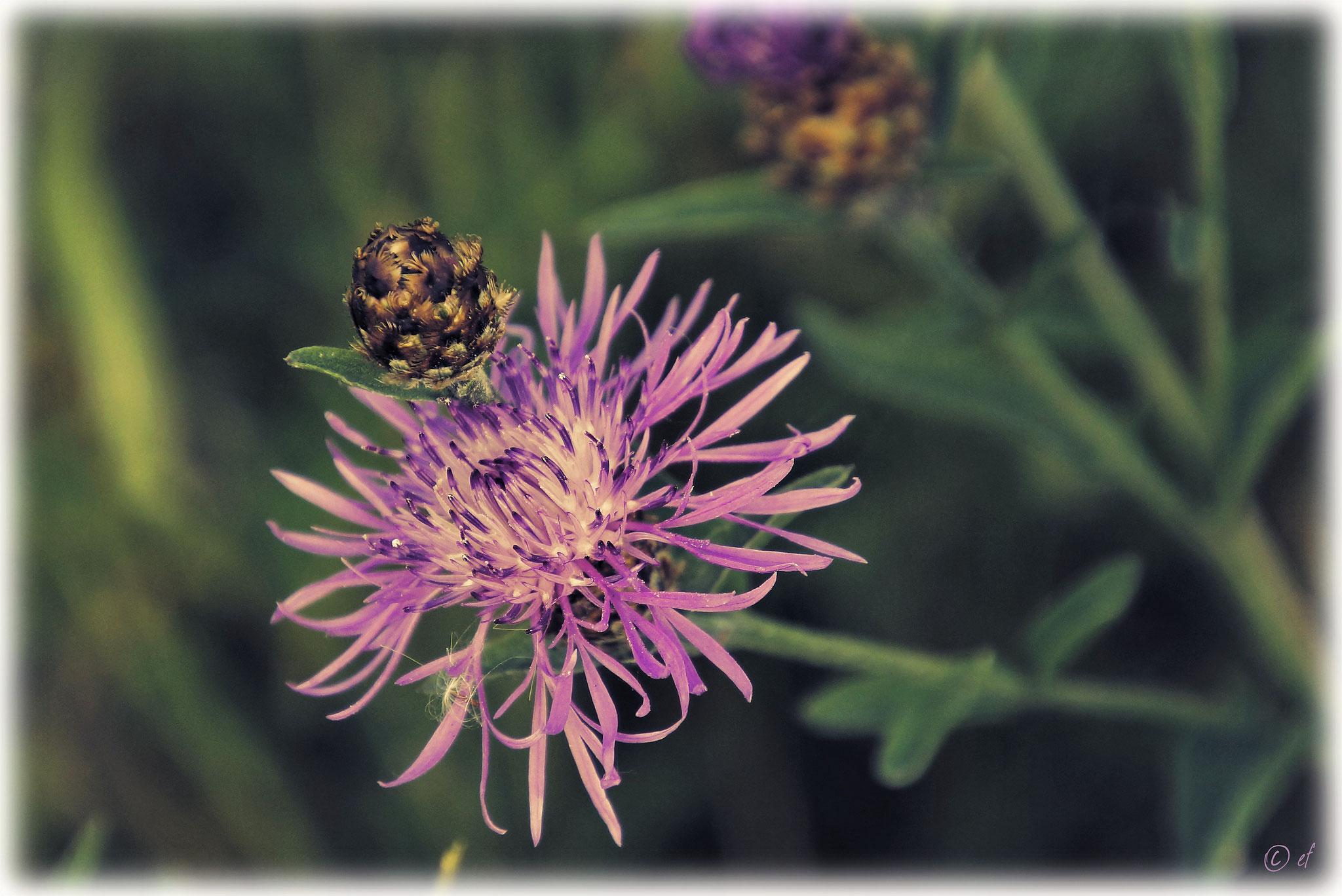 Eine Flockenblume