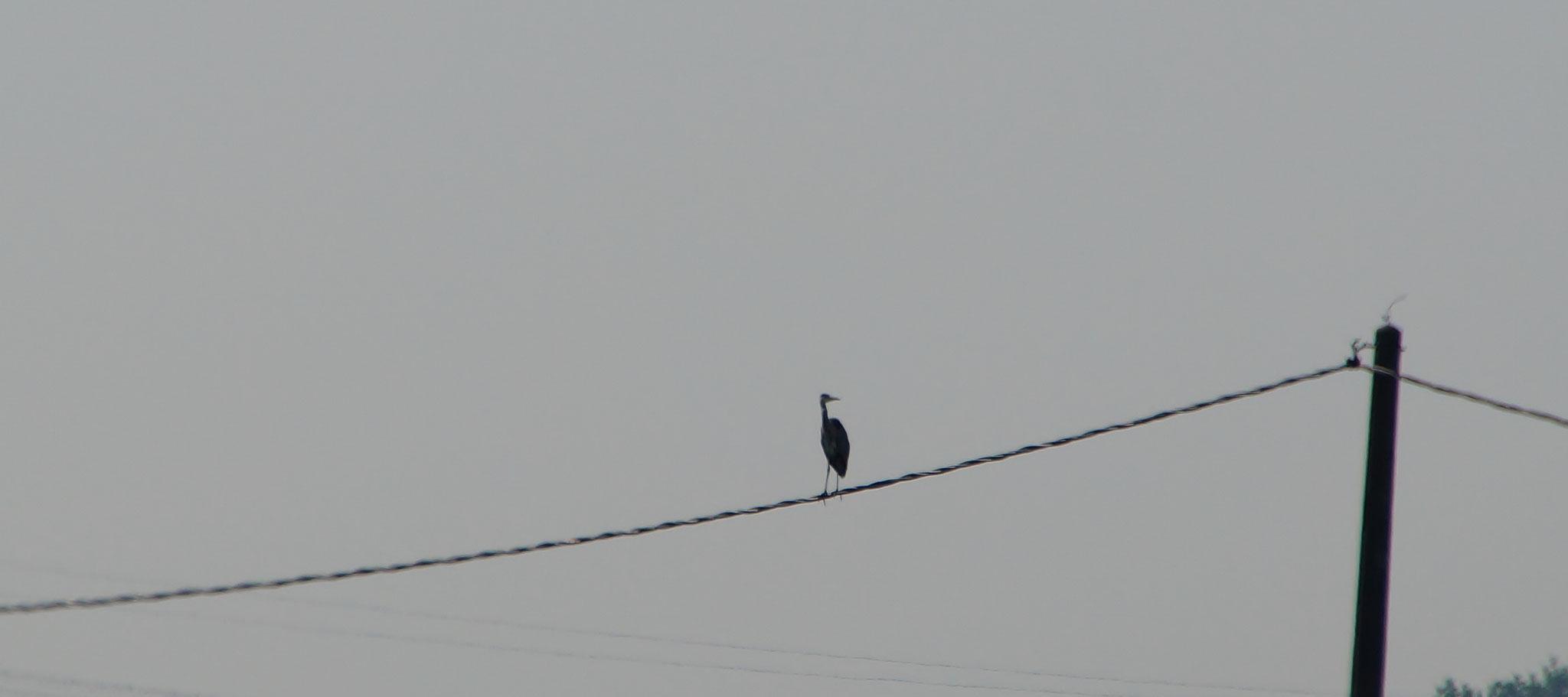 Ein Graureiher hoch oben auf einem Stromkabel hat einen guten Überblick