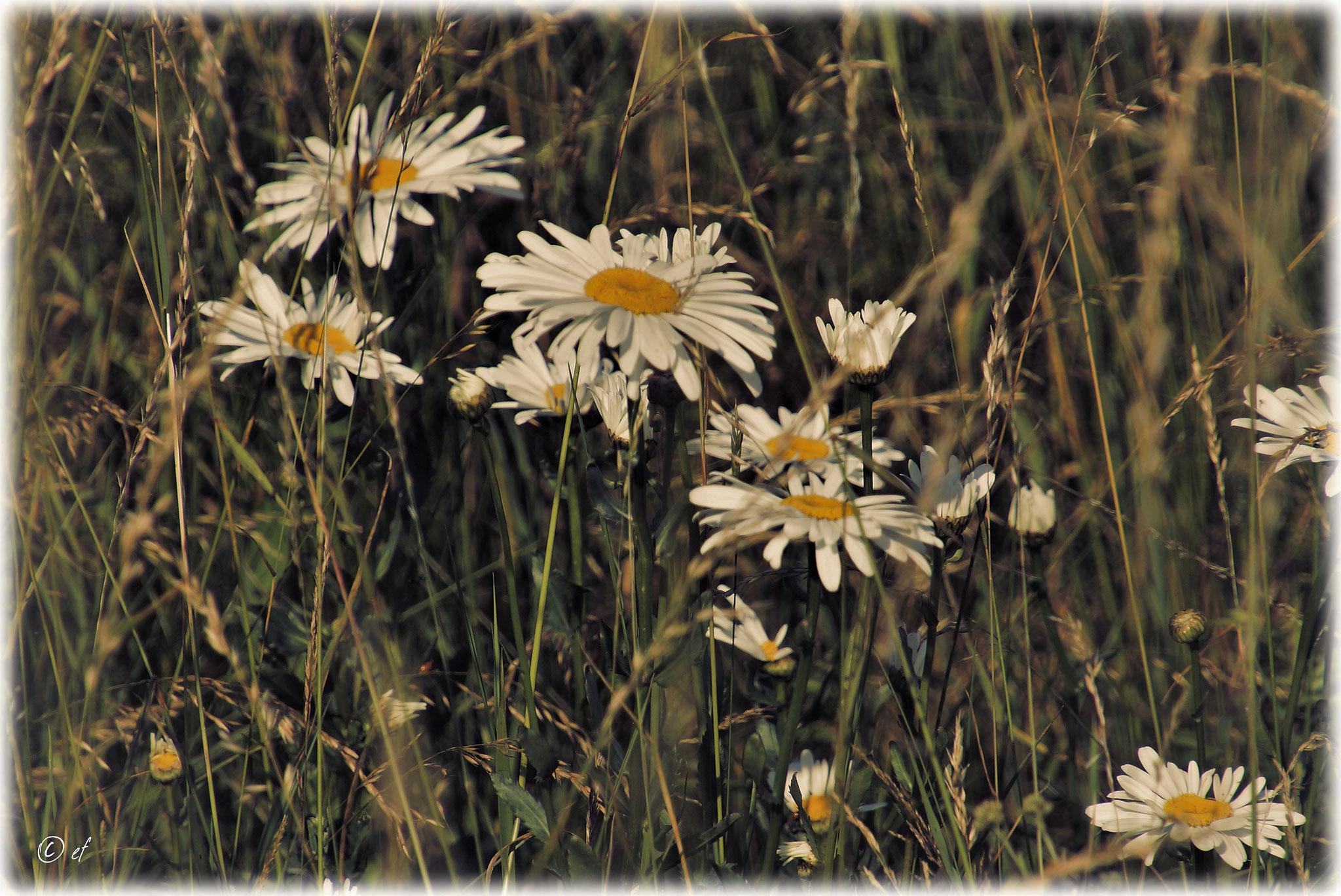 Die Wiesen-Margerite