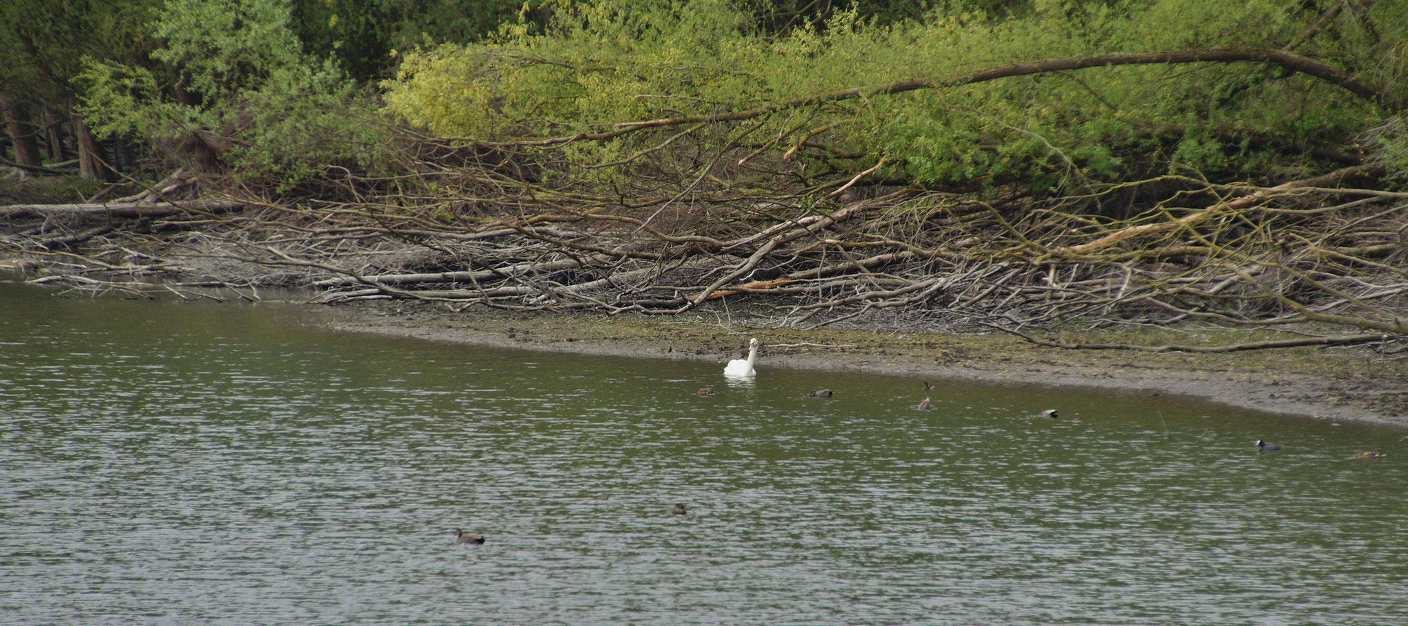 Ein Schwan umgeben von mehreren Wasservögeln