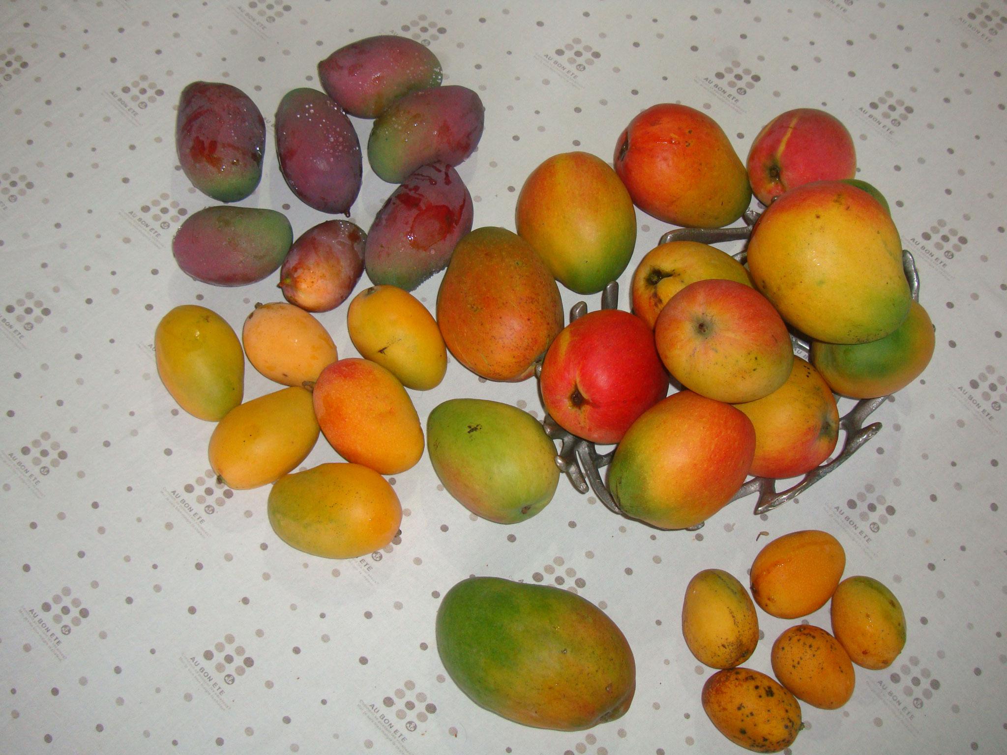 園内で収穫した様々な種類のマンゴたち。選り取りみどりで迷っちゃう(♥ω♥)