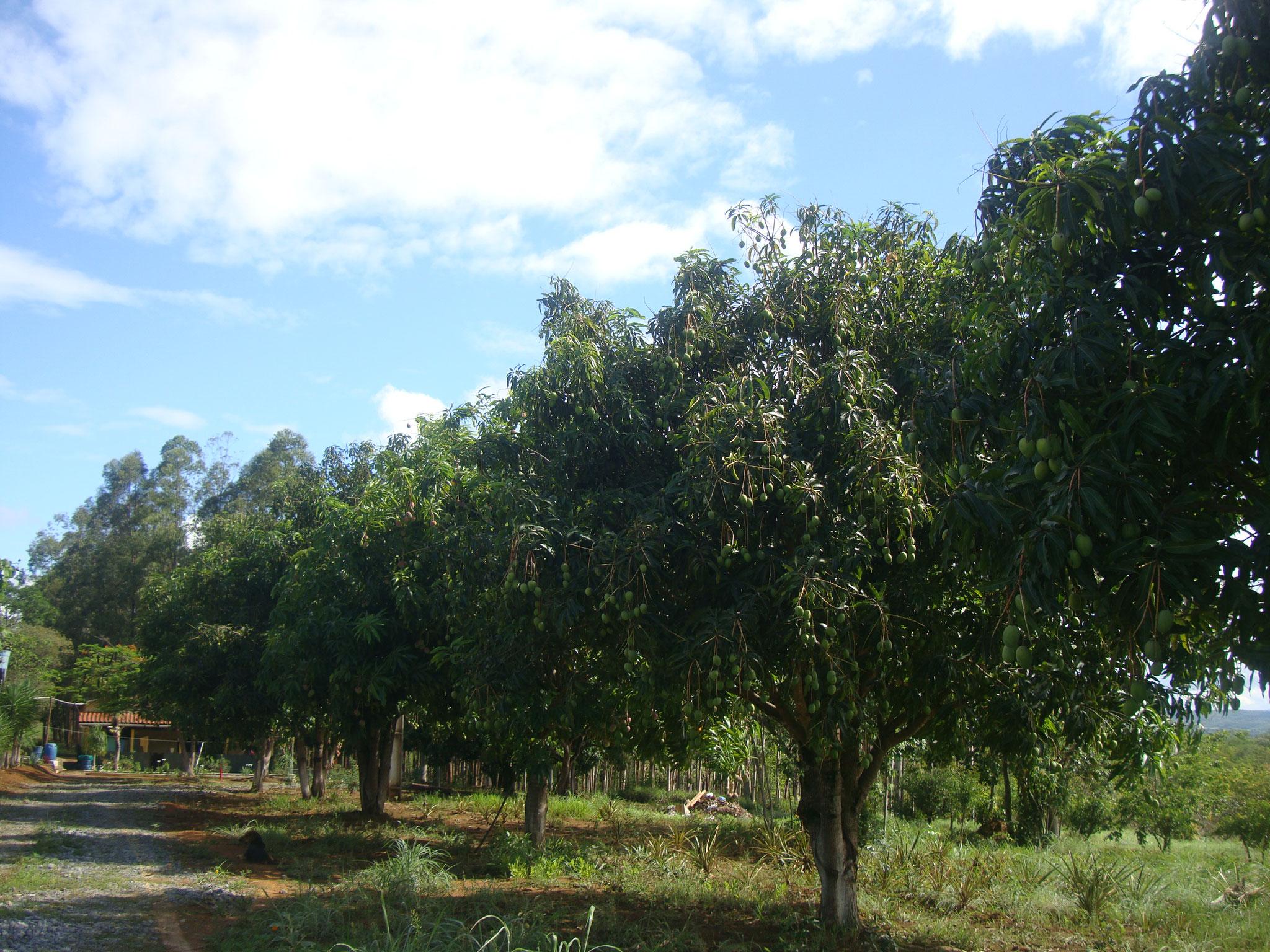 手入れ無しでもすくすく育ったマンゴの木々、立派になりました。