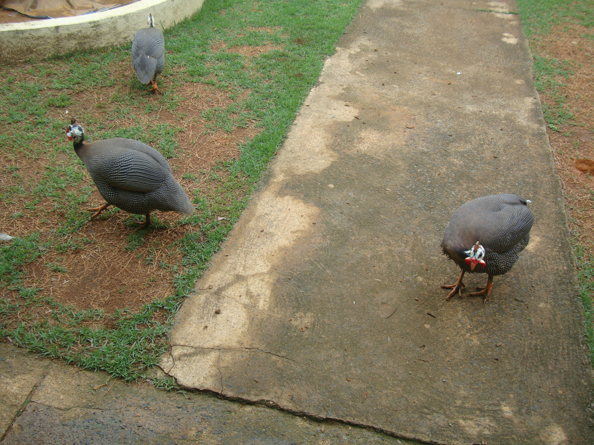 ホロホロ鳥も飼っていますが、様々な動物に狙われ食べられてしまうことも多く。。。