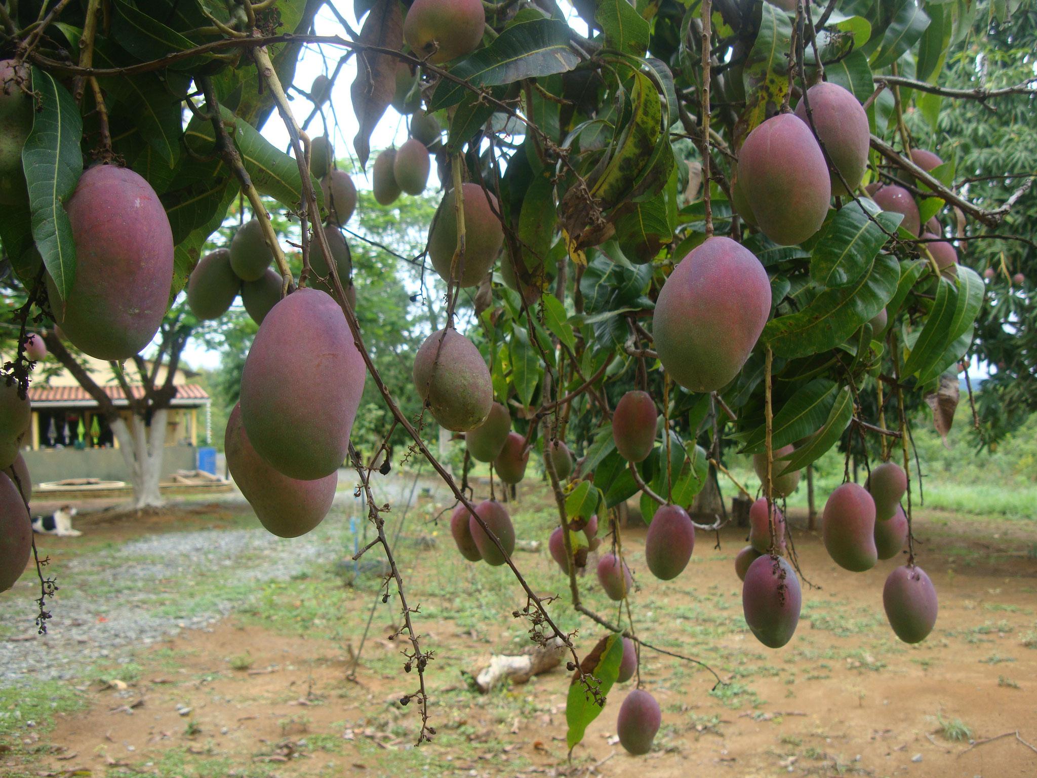 ミナスジェライス州のマンゴの最盛期は11月下旬から1月初旬頃まで。もう食べ切れない!!