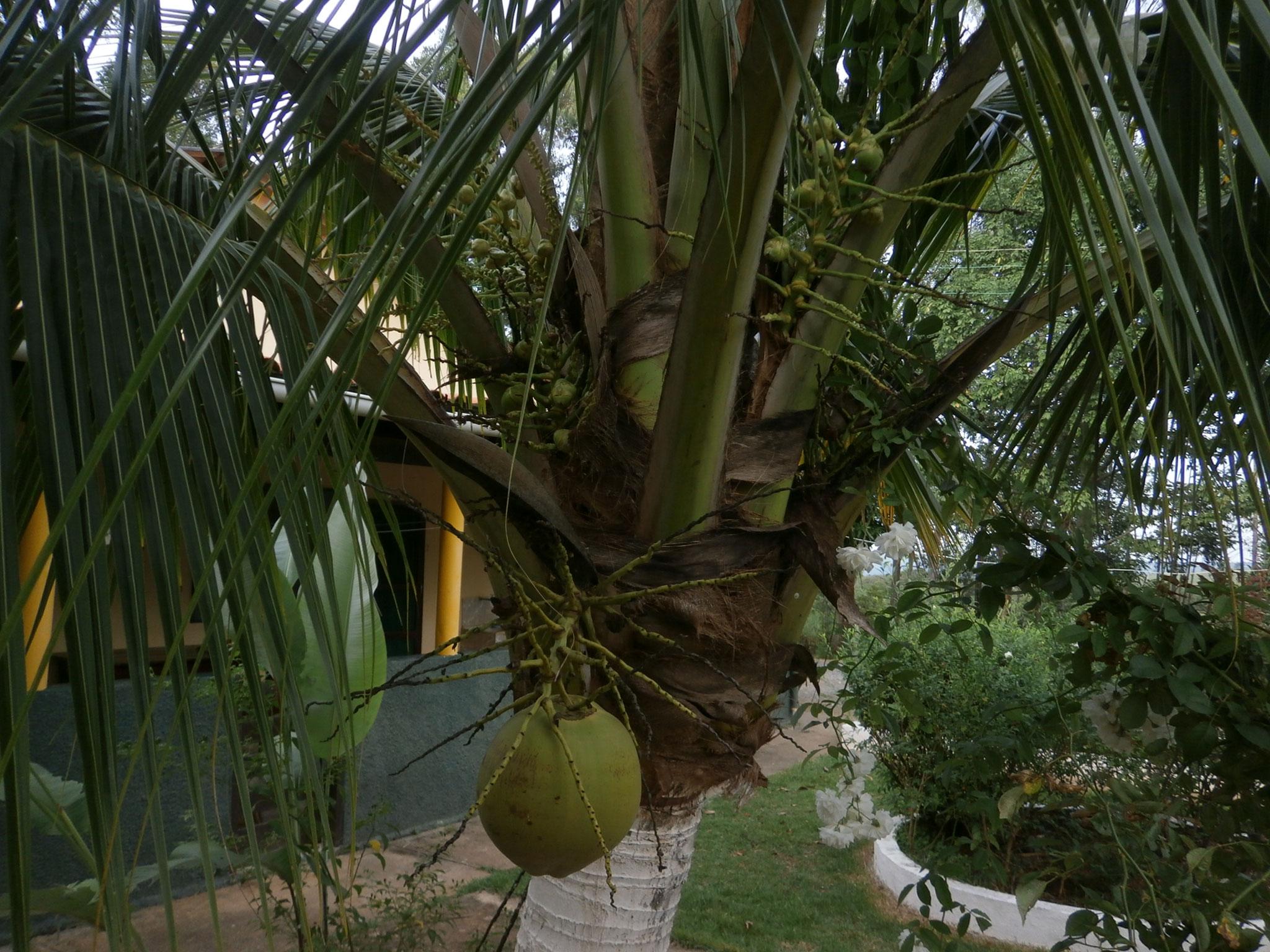 10年ほどかかりましたが、ココナツの実も成り始めました。