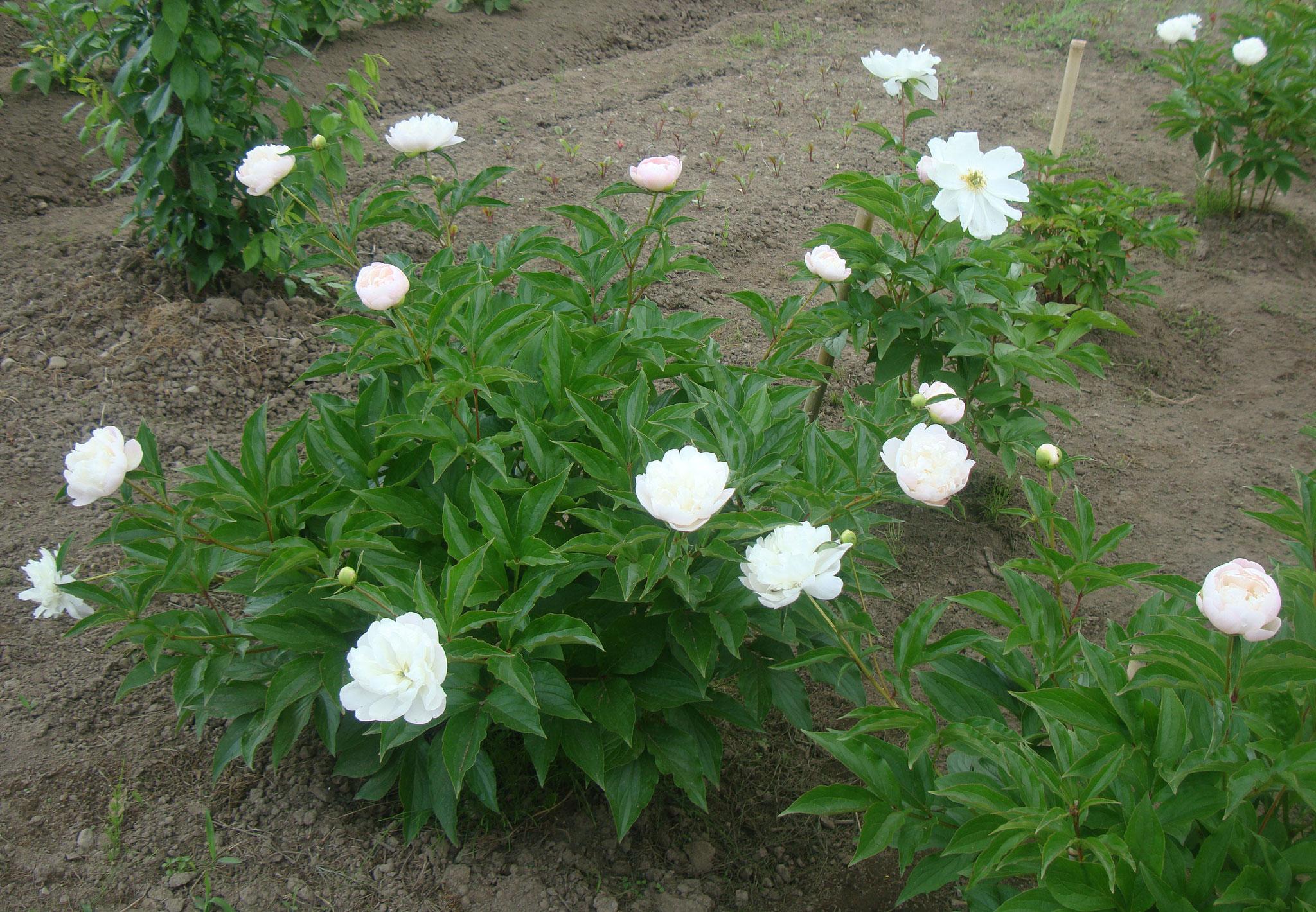 3年前に仲間と植えた芍薬が咲き・・
