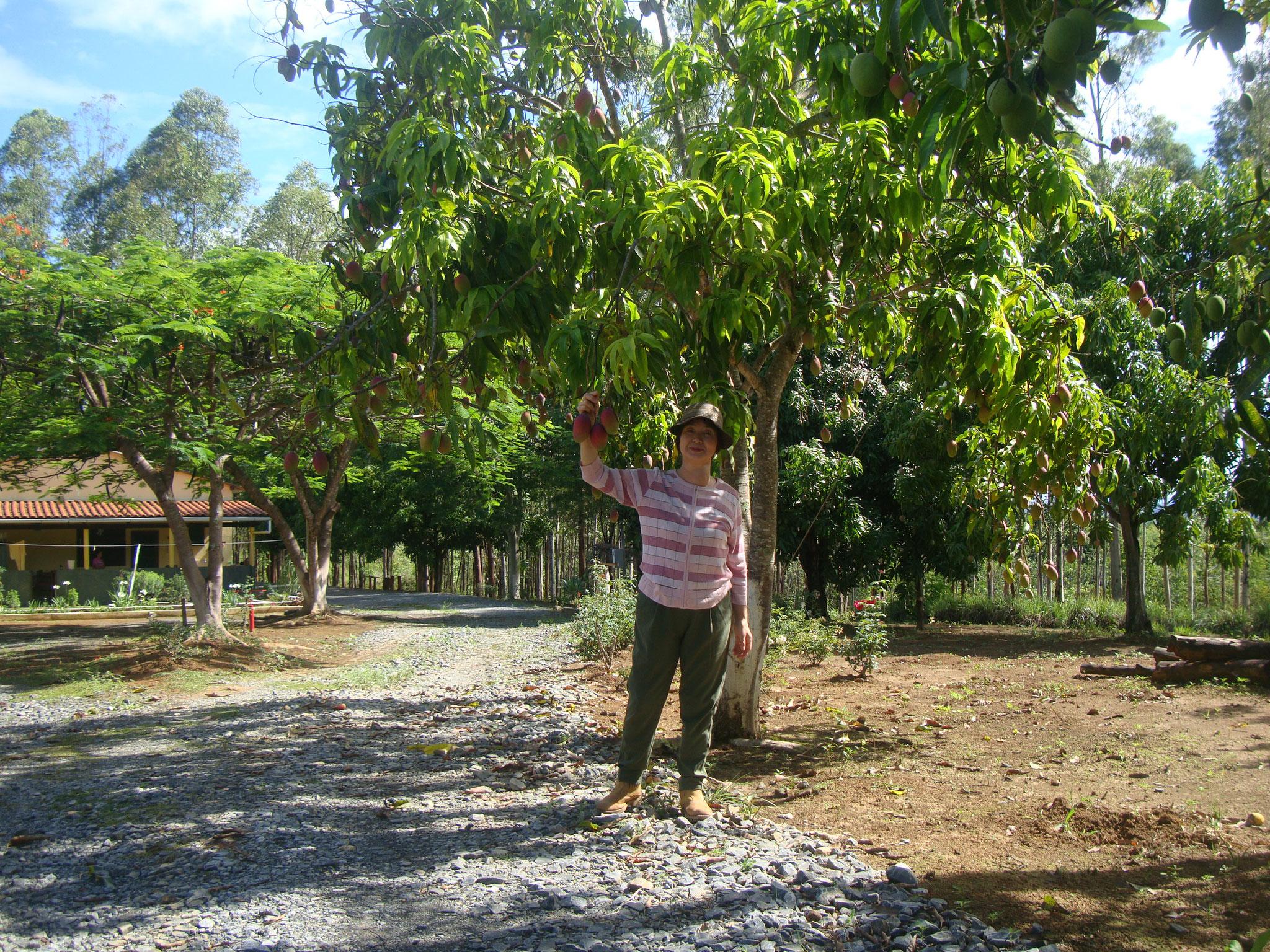 マンゴの木の下で一枚パチリ!完熟まではもう少し。