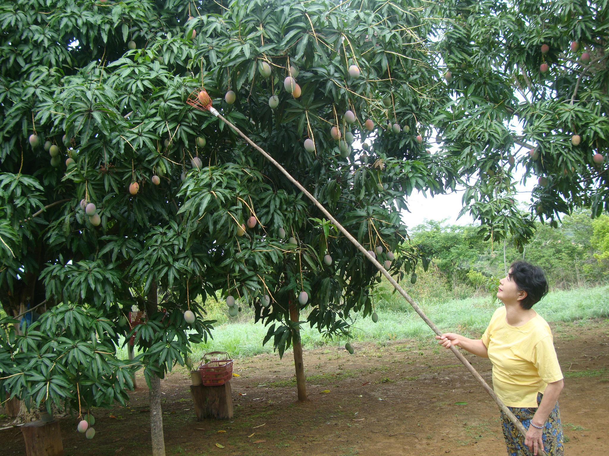 原始的だけれど、確実にマンゴが採れる収穫用の道具を嬉しそうに操る私 (^^♪